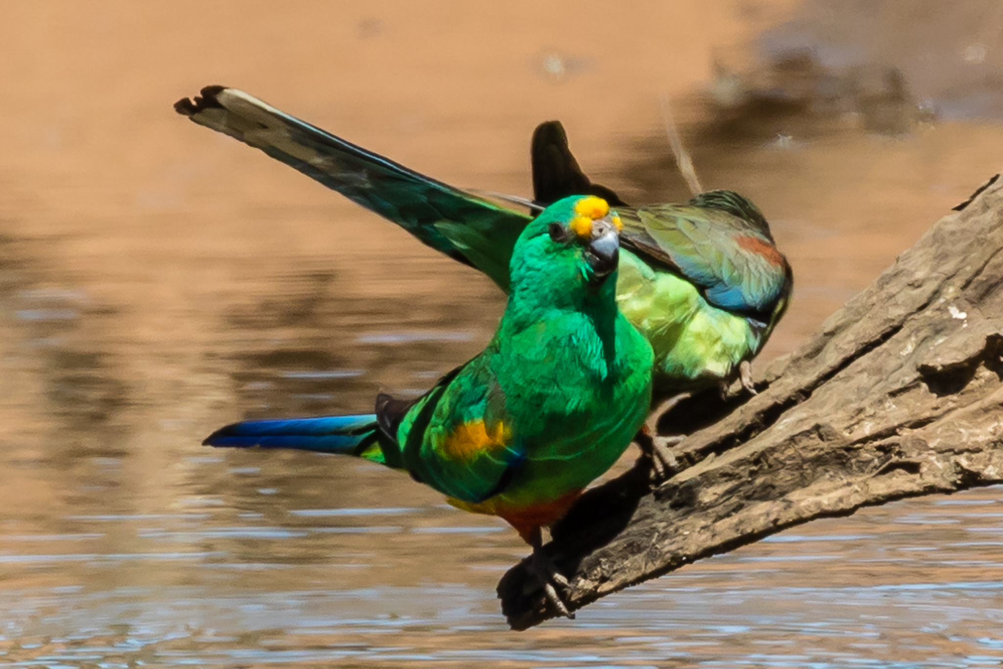 Beautiful Mulga Parrots fly down to drink at a waterhole in Cocoparra National Park. They inhabit the arid scrublands and lightly timbered grasslands in this area.