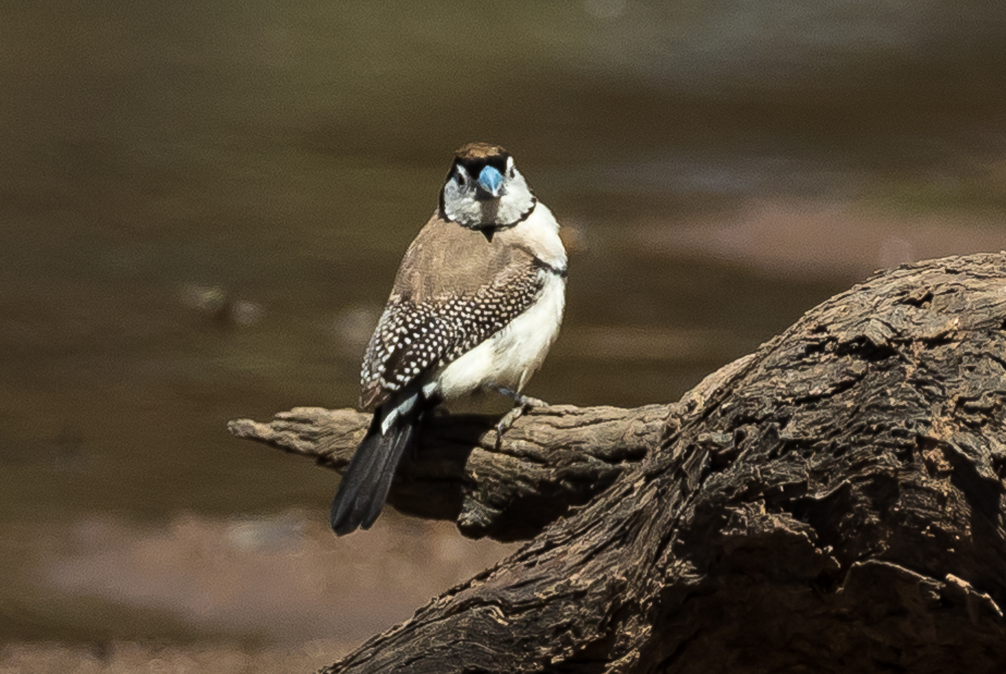 Double-barred Finches prefer dry grassy woodland and scrubland, feeding on seeds, but are never far from water. Again photographed at a waterhole in Cocoparra National Park.