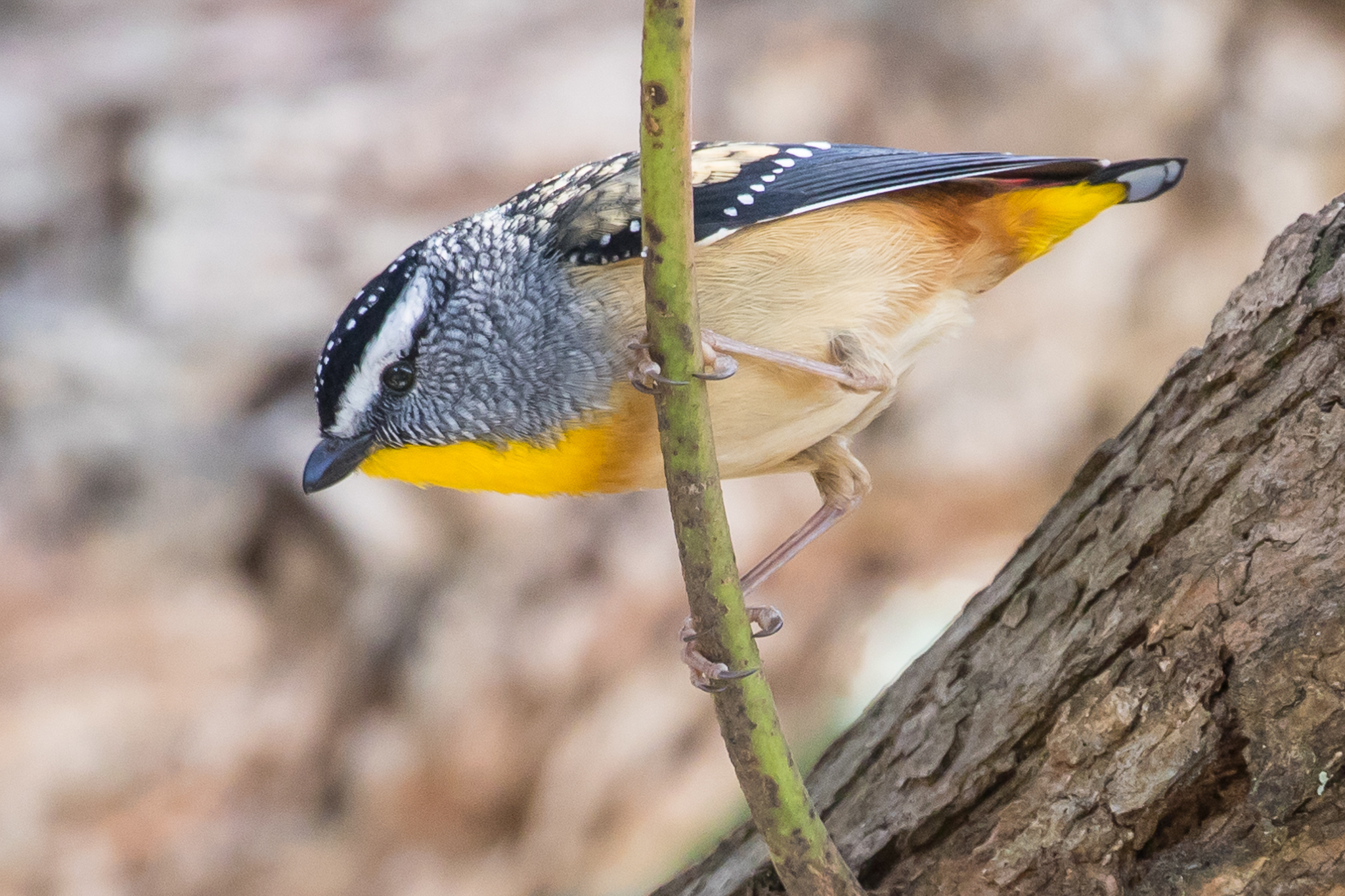 Spotted Pardalotes frequent the bush and the forests of Morton National Park. Some times, like this bird, Spotted Pardalotes are seen close to the beach. They feed on insects and manna.