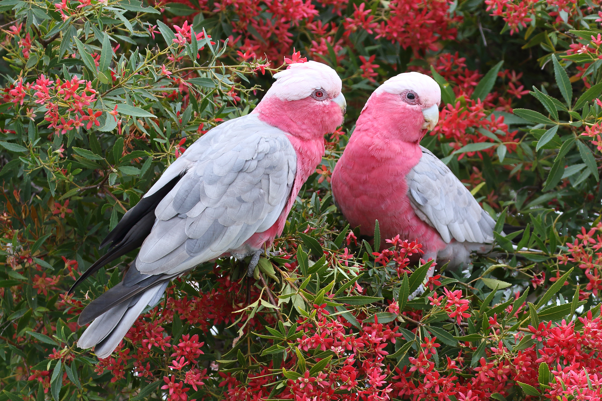 Galahs feed on seeds, usually on the ground, but here are supplementing their diet with blossom and nectar. South Coast parrots also include Rainbow Lorikeets, Crimson Rosellas, Gang Gang, Yellow-tailed Black Cockatoos, and Glossy Black Cockatoos.