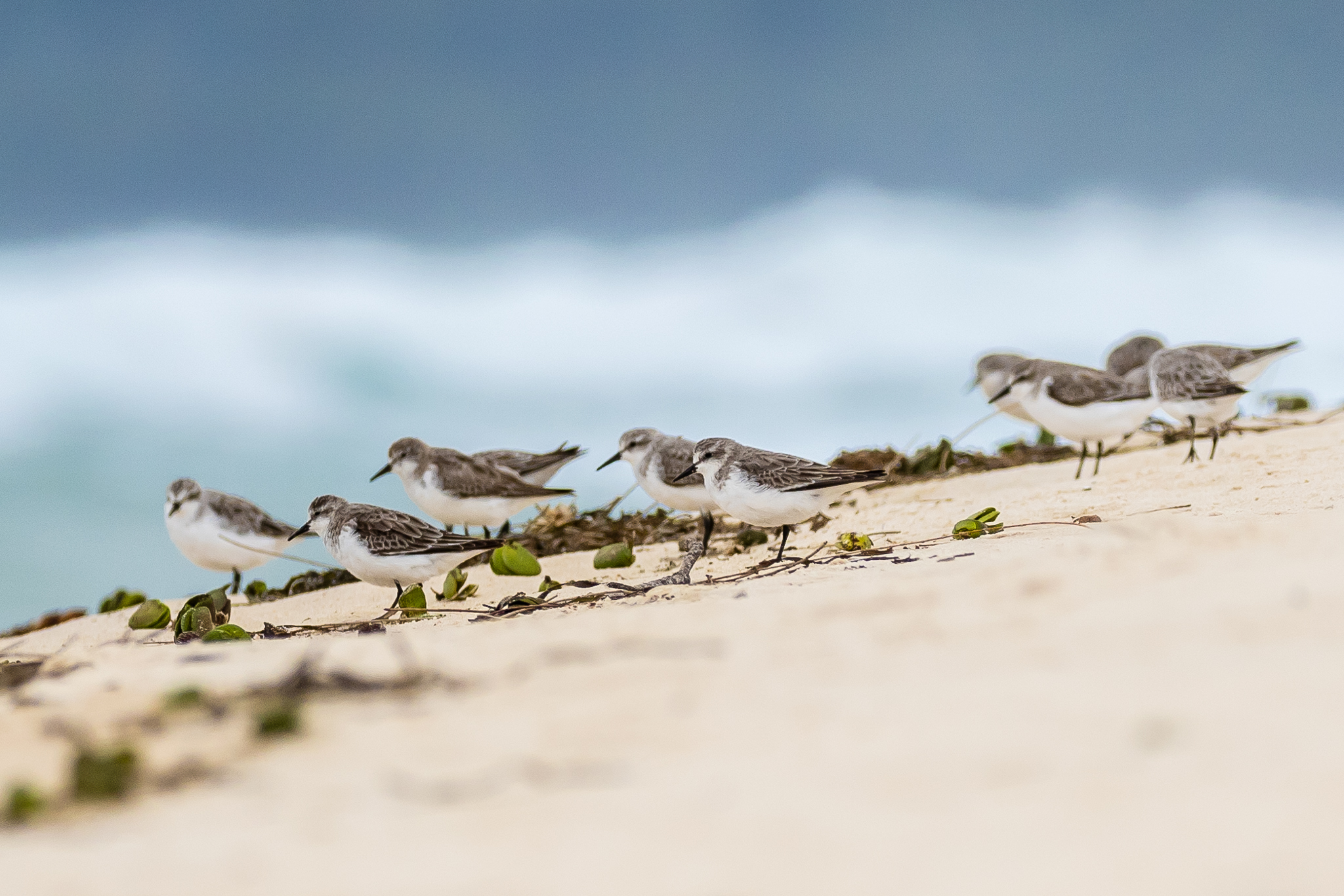 A group of young Red-capped Plovers brace against the sand and surf. Red-capped Plovers nest and feed on the beach, searching for molluscs and small crustaceans.