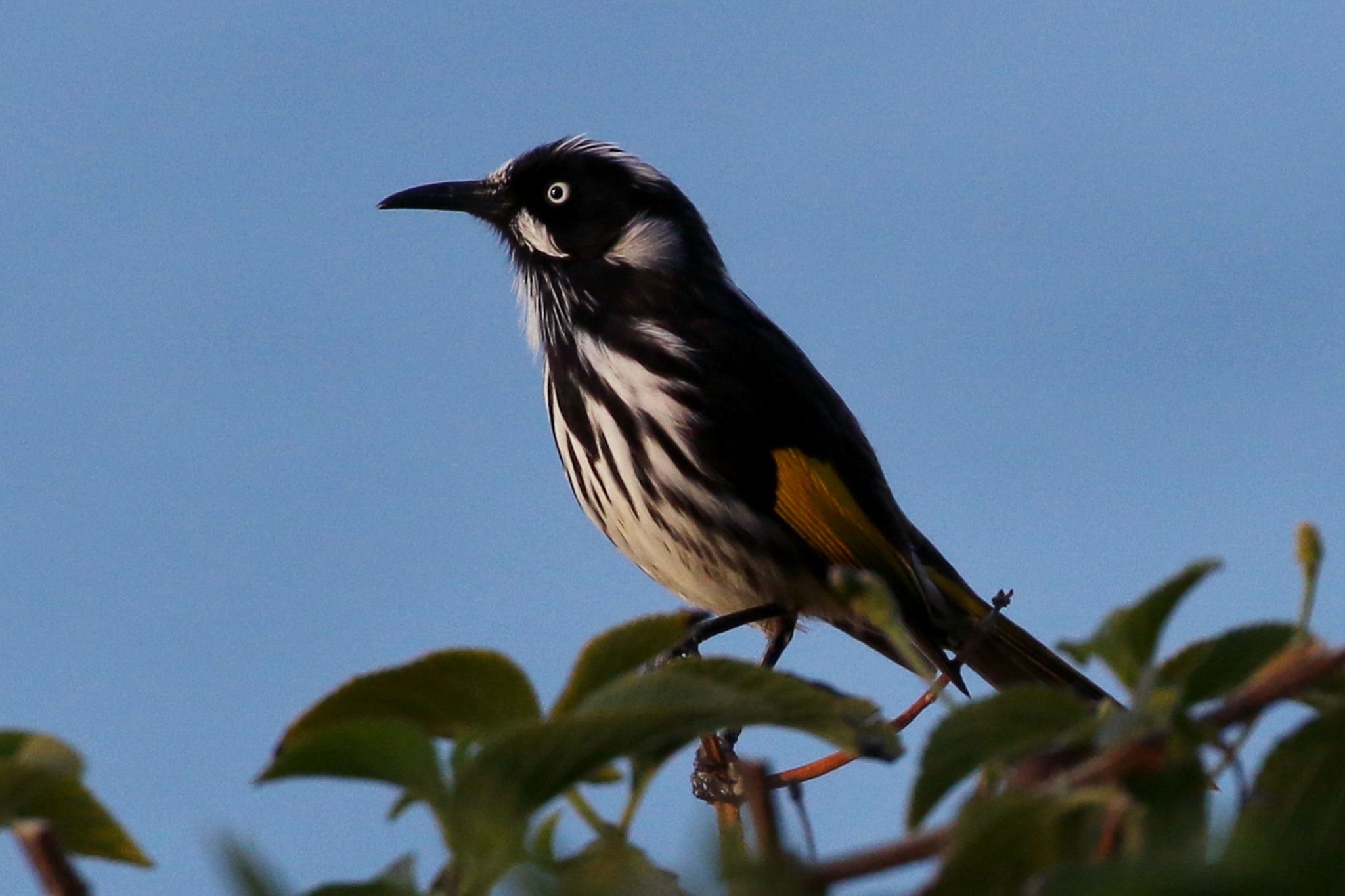 The New Holland Honeyeater is one of the most common Honeyeaters, here seen feeding on nectar from flowering coastal shrub.