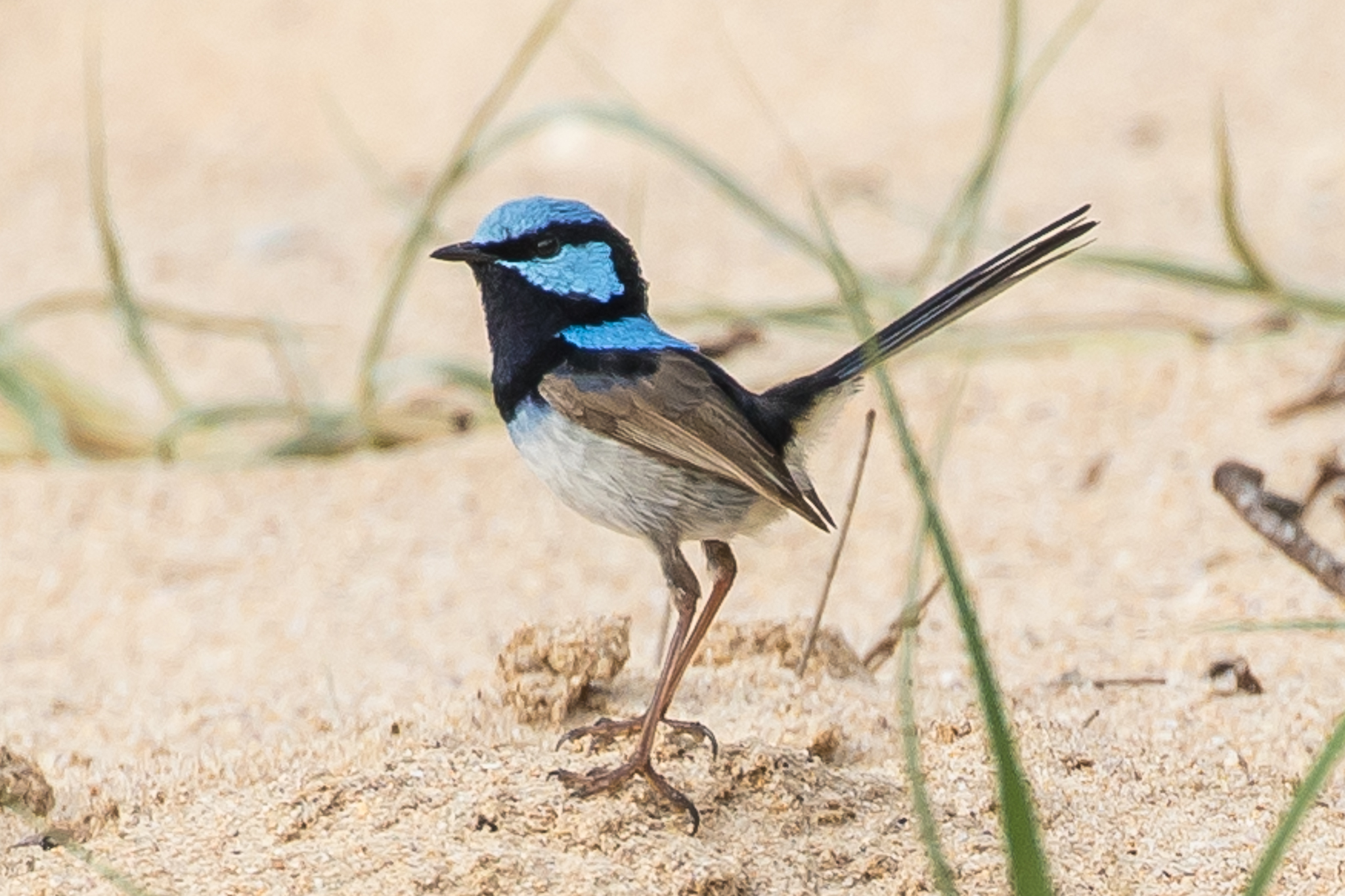 This Superb Fairy-wren is on the beach today. More usually it will be feeding in low bush and grass, looking for insects. The Superb Fairy-wren is a common companion through the South Coast area.