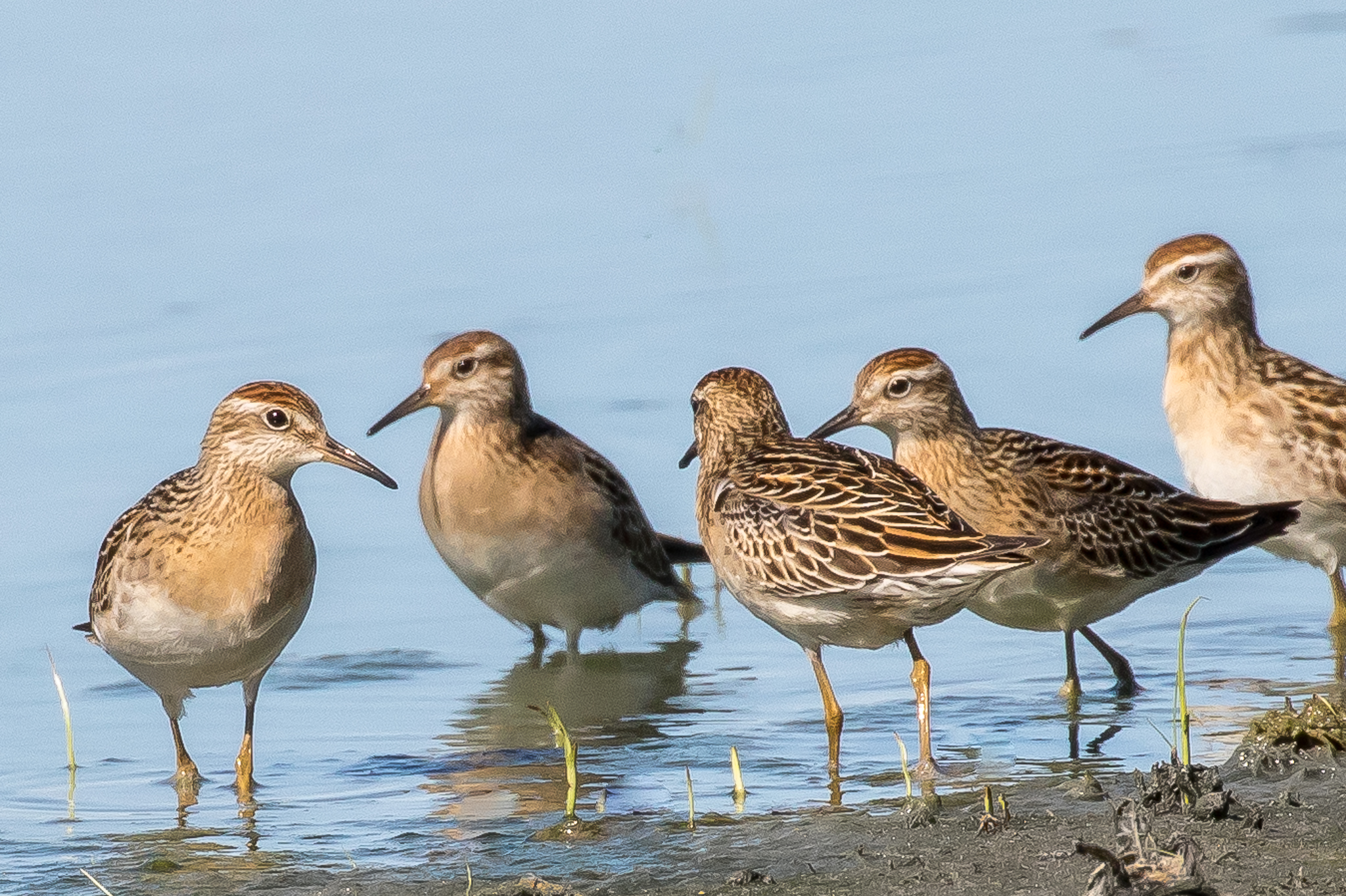 Sharp-tailed Sandpipers breed in Siberia then cross the Pacific to spend the summer at Australia's inland waterways. They feed on insects, molluscs and worms. Photographed at Fivebough Wetlands.
