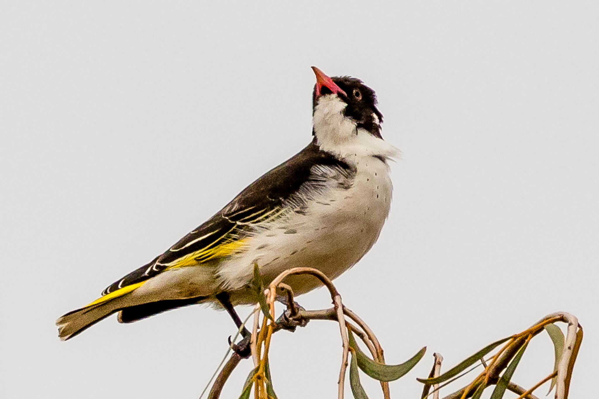 Painted Honeyeaters are listed as a vulnerable species. Their favourite food, fruit of the grey Mistletoe, is in short supply. This bird was photographed on the verge of a country road in remnant bush.