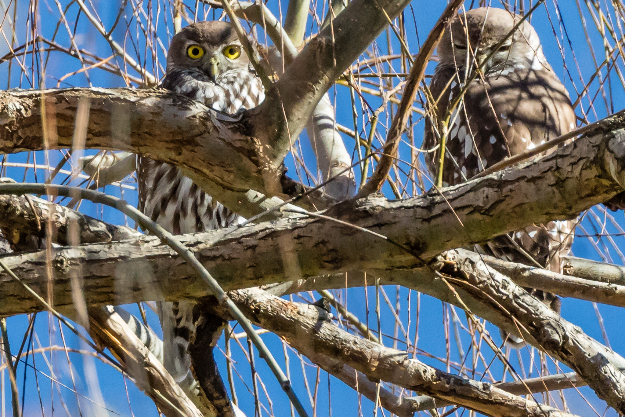 """The Barking Owl is rarely seen but their distinctive """"little dog"""" barking call may be heard at night.They frequent where forest meets farmland especially in river side trees. The two owls above are roosting close to a small stream that will provide their fare of small animals, birds, reptiles and insects."""
