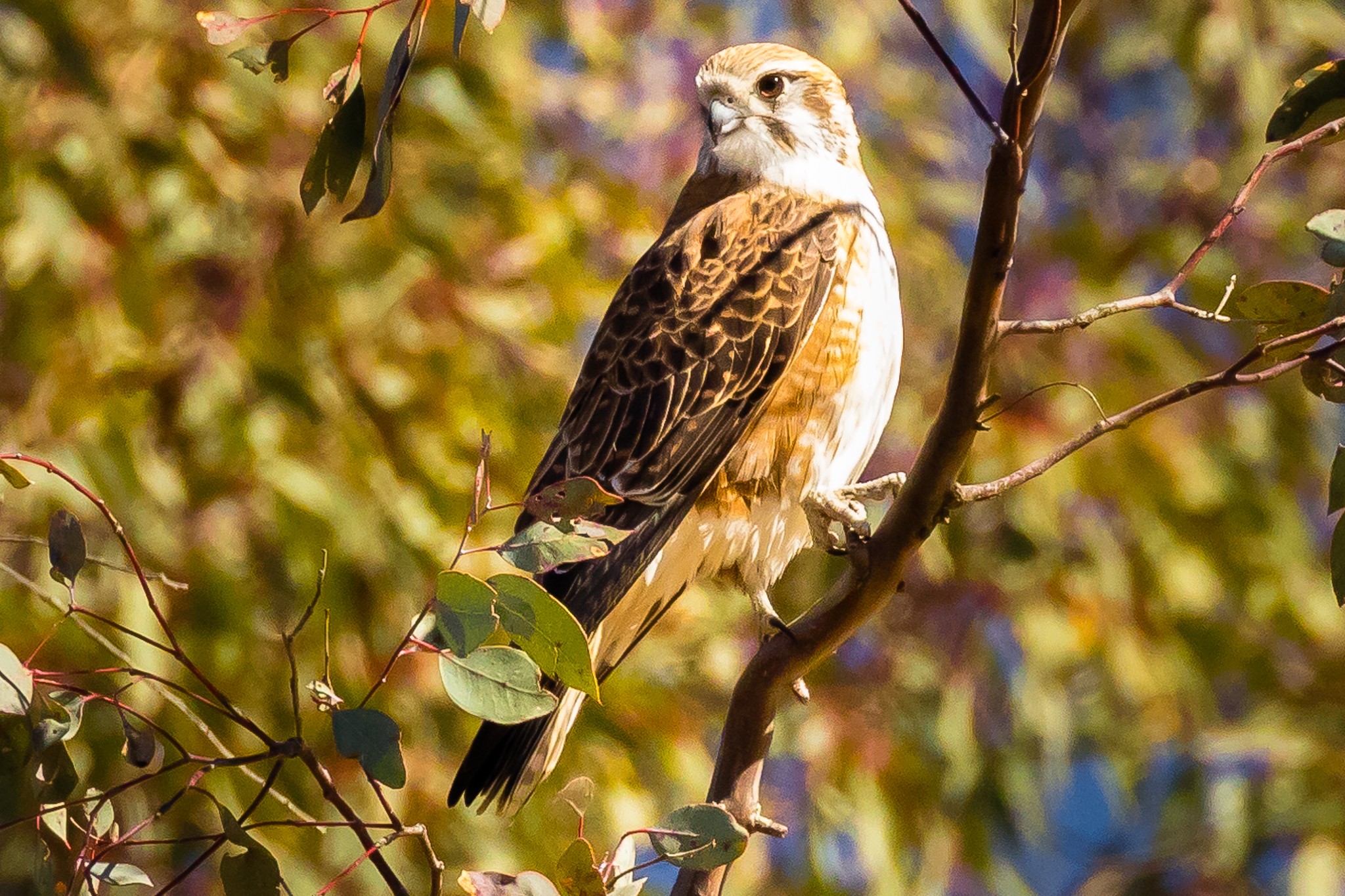 Brown Falcons, a medium sized raptor ( 50 cm in length), frequent open woodlands and farmland, watching for prey from trees and from power poles. The Brown Falcon swoops on its prey, killing with a bite from its powerful bill. They feed on small mammals, insects and reptiles.