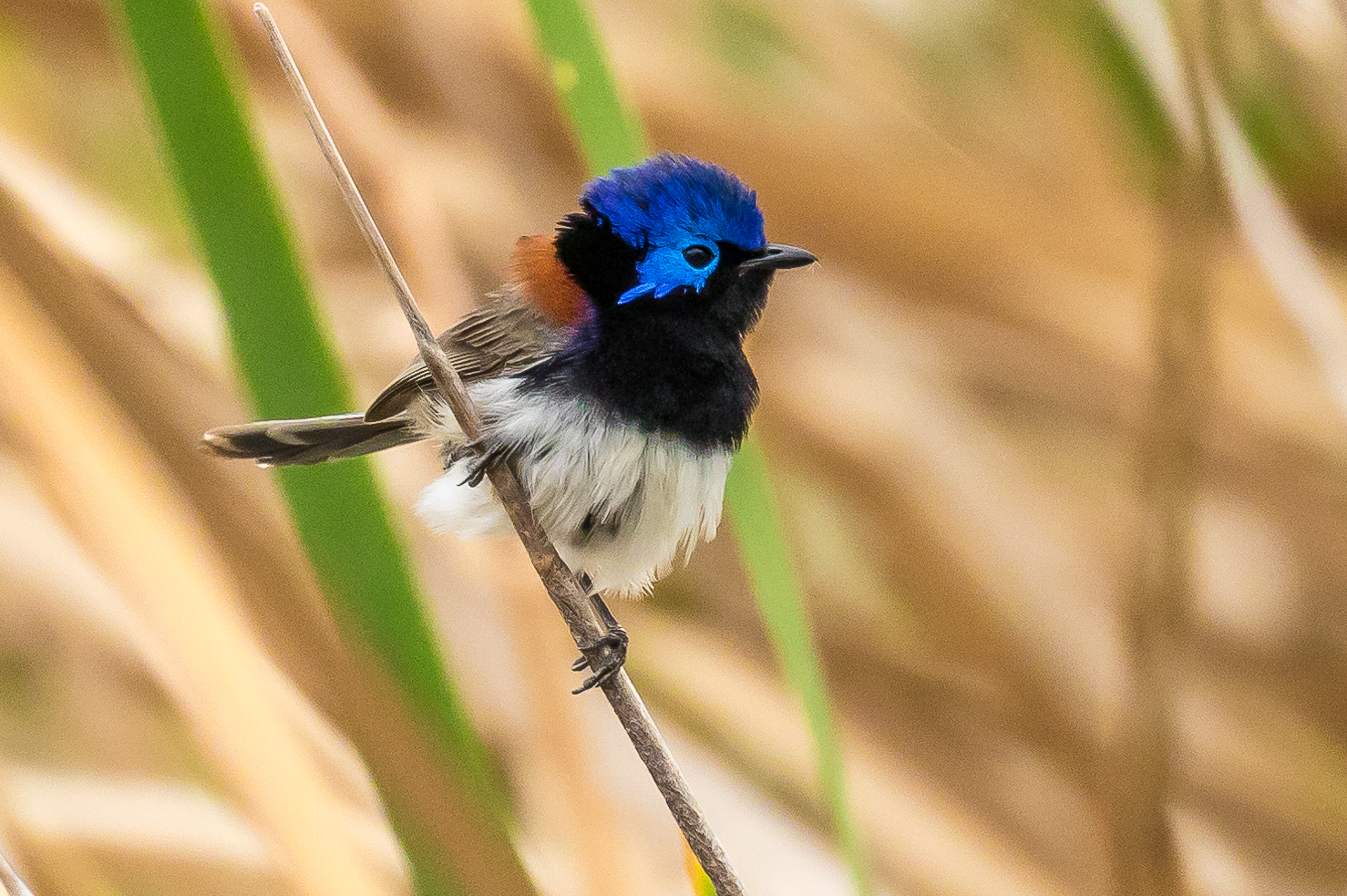 The Variegated Fairy-wren lives across most of Australia. They move through the base of shrubs and grasses looking for insects.