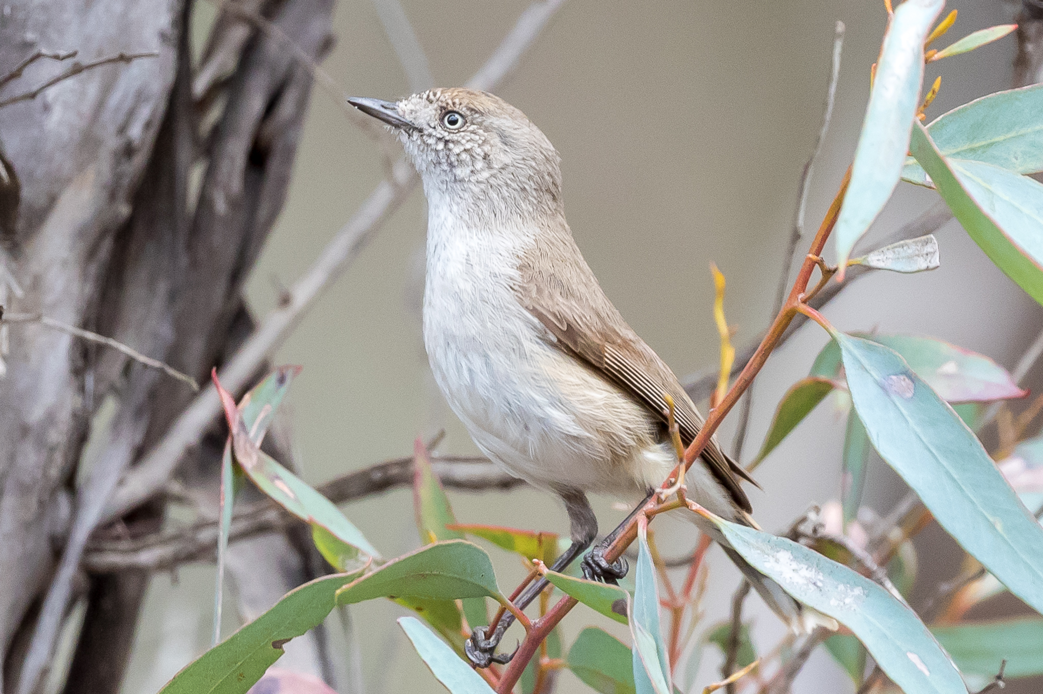 Chestnut-rumped Thornbills frequent semi-arid woodland, mulga and acacia scrubland, feed on insects. They feed from the low branches of small trees and shrubs, sometimes feeding on the ground.