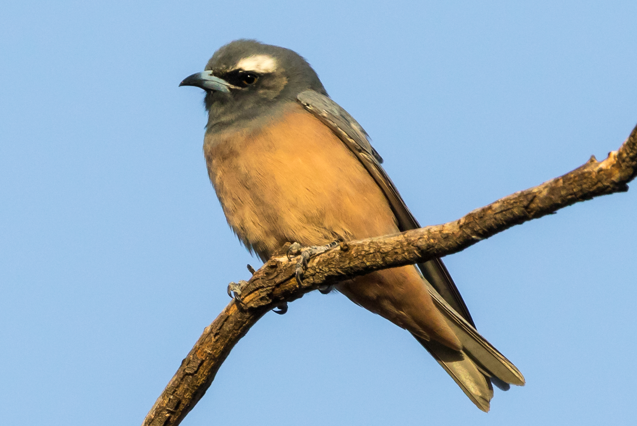 The White-browed Woodswallow is a summer visitor to inland south-eastern Australia, returning north for the winter. It feeds on both insects and nectar and is seen in a wide range of habitats, sometimes in very large flocks.