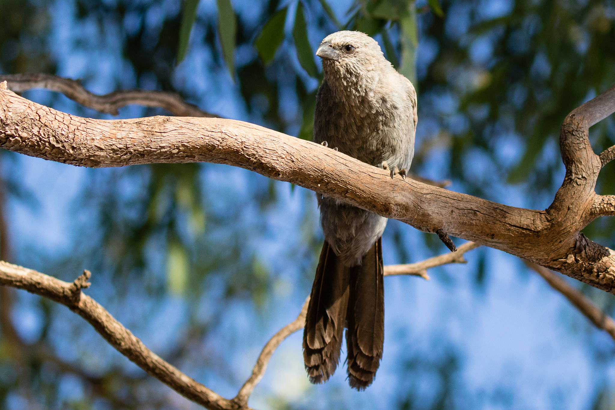 Apostlebirds make a bowl shaped nest out of mud. They are usually seen in co-operative family groups of up to 12 birds across farmlands, forests and woodland. They share building nests and raising their young.