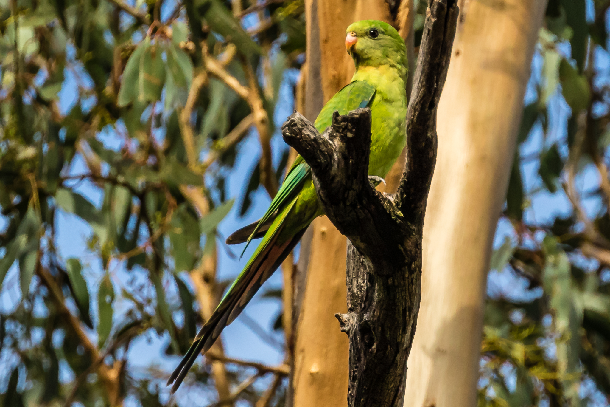 Superb Parrots are listed as vulnerable and conservation efforts are underway including provision of nest boxes. They are often seen during the spring and summer in roadside trees and open woodlands, feeding on grass seeds, fruit, nectar, flowers and berries.