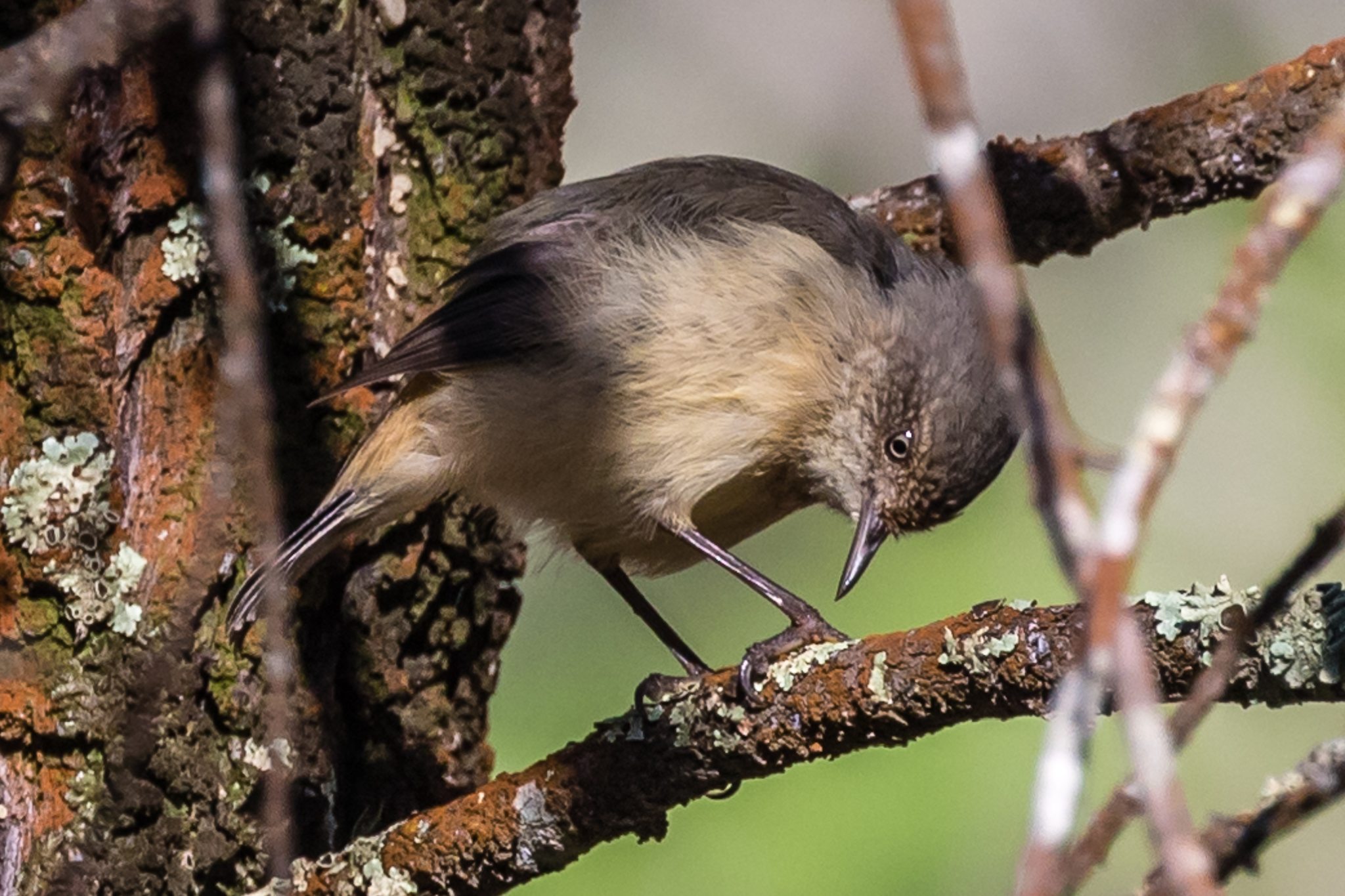 Buff-rumped Thornbills (here seen at Company Dam) join other Thornbills, Weebills, Pardalotes and other small birds that control insects and pests of the woodlands. Buff-rumped Thornbills prefer the margins of forests, living and feeding in the lower branches of scrubs.