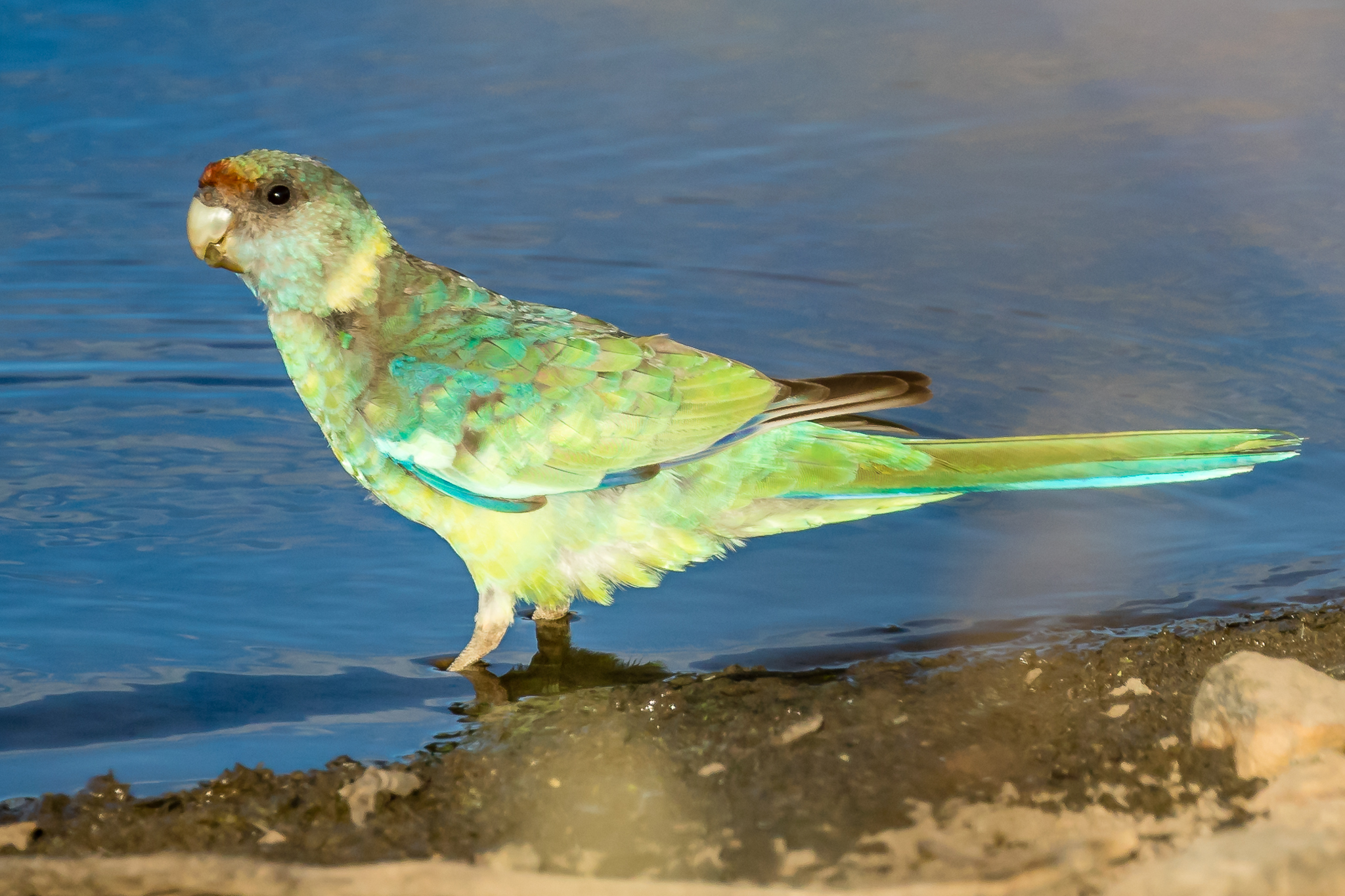 The Mallee version of the Australian Ringneck parrot is distinguished by its red frontal band and blue grey upper back. The waterholes around Rankin Springs are excellent places to see parrots, honeyeaters and water birds of the woodlands and the arid lands.