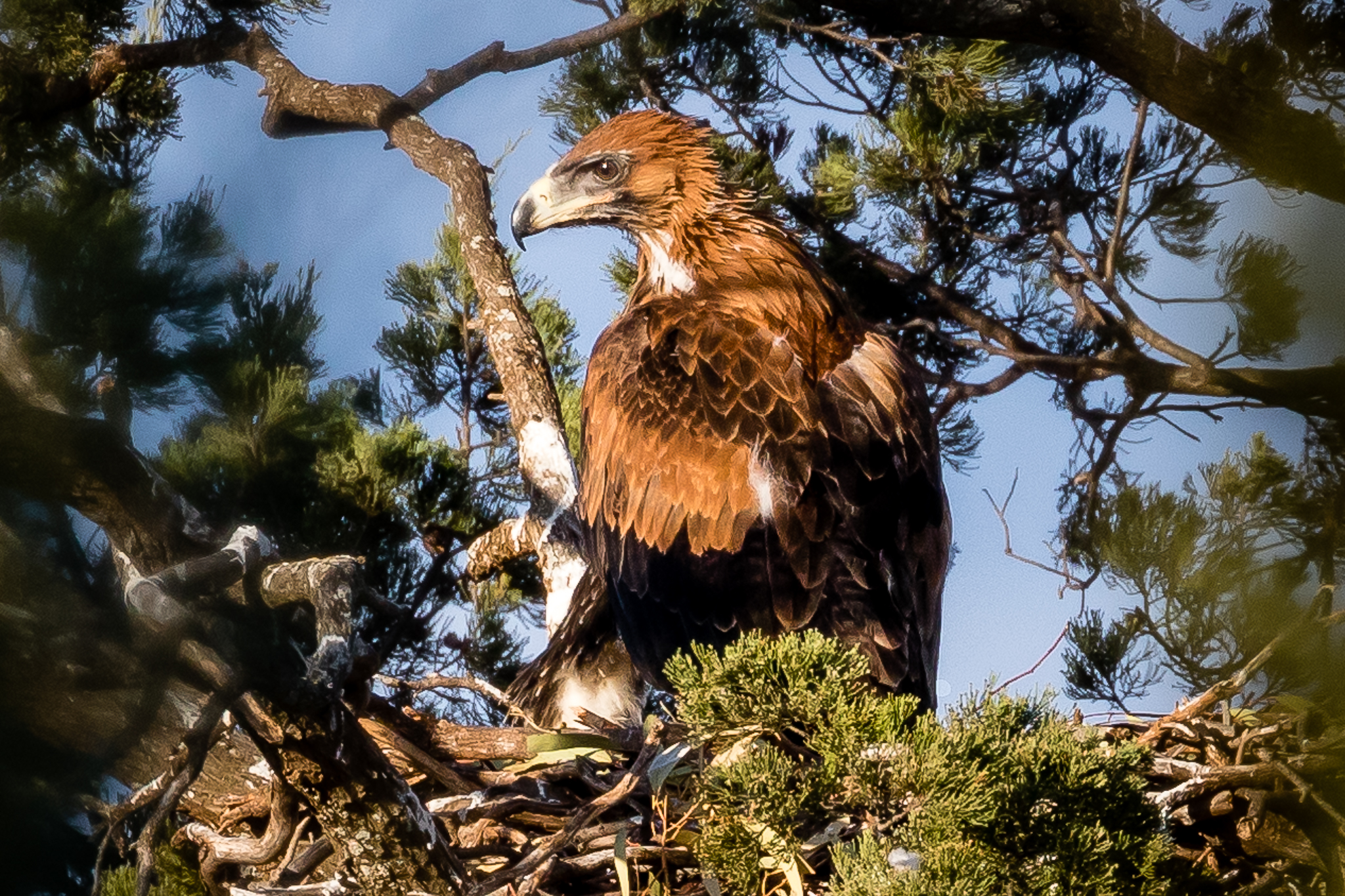 This young Wedge-tailed Eagle is nearly ready to leave the nest. This photograph was taken from a distance with telescopic lens to avoid disturbing the bird. Fully grown, its wingspan may reach 2.3 metres. Wedge-tailed Eagles are seen, often soaring high, across the farmlands around Rankin Springs.