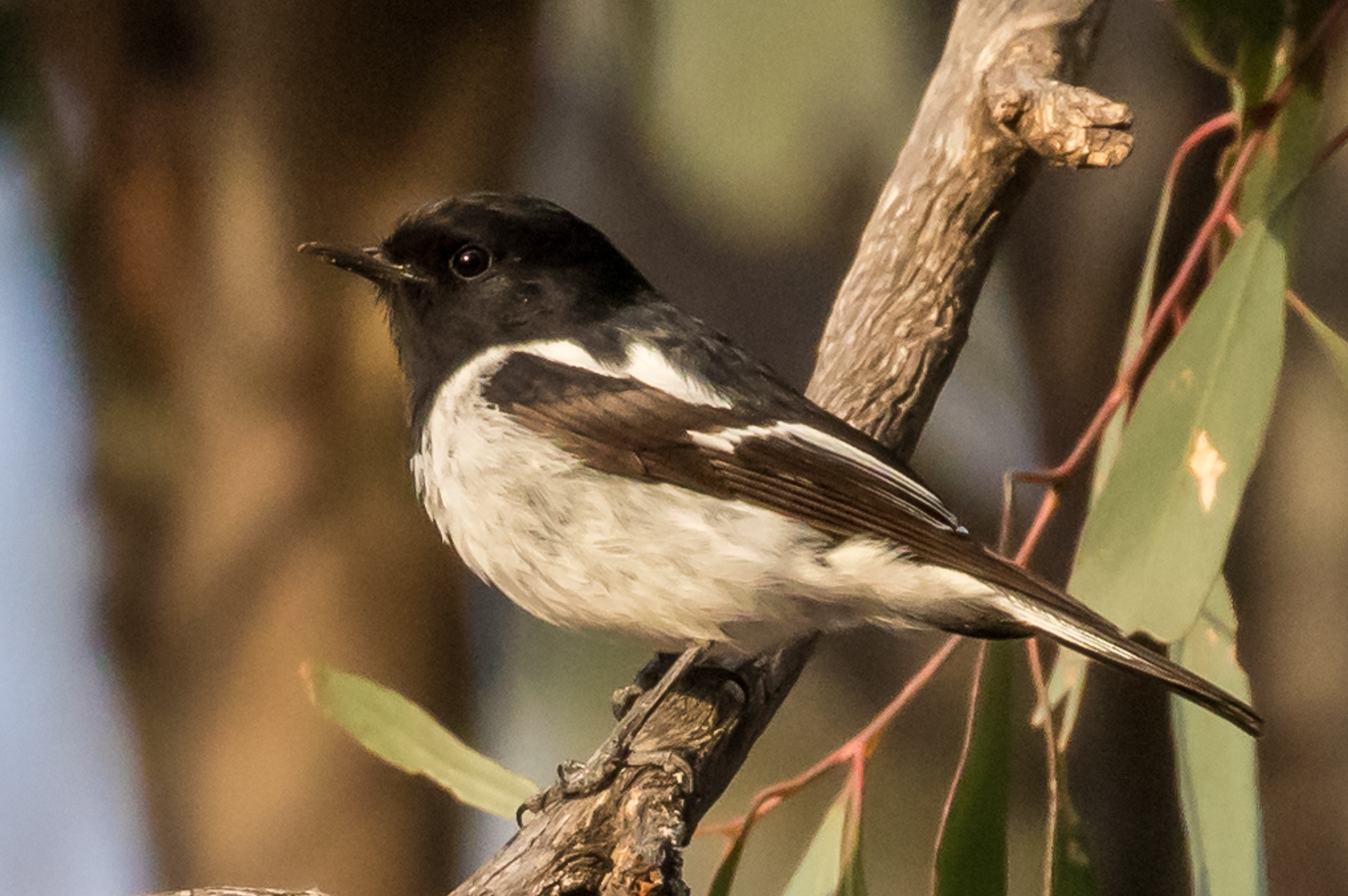 Hooded Robins sit on low branches in the forest, swooping to the ground to feed on insects. They are found in woodlands across most of Australia but numbers are diminishing in some places along with other woodland birds.