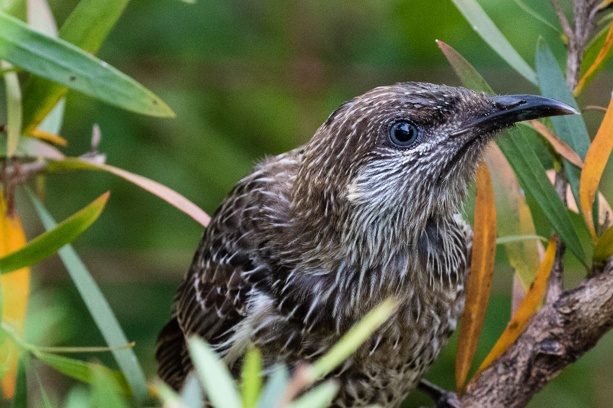 The Little Wattlebird (35 cm) is one of the large sedentary honeyeaters that dominate garden shrubs with large flowers, eg. grevilleas and bottle-brushes.