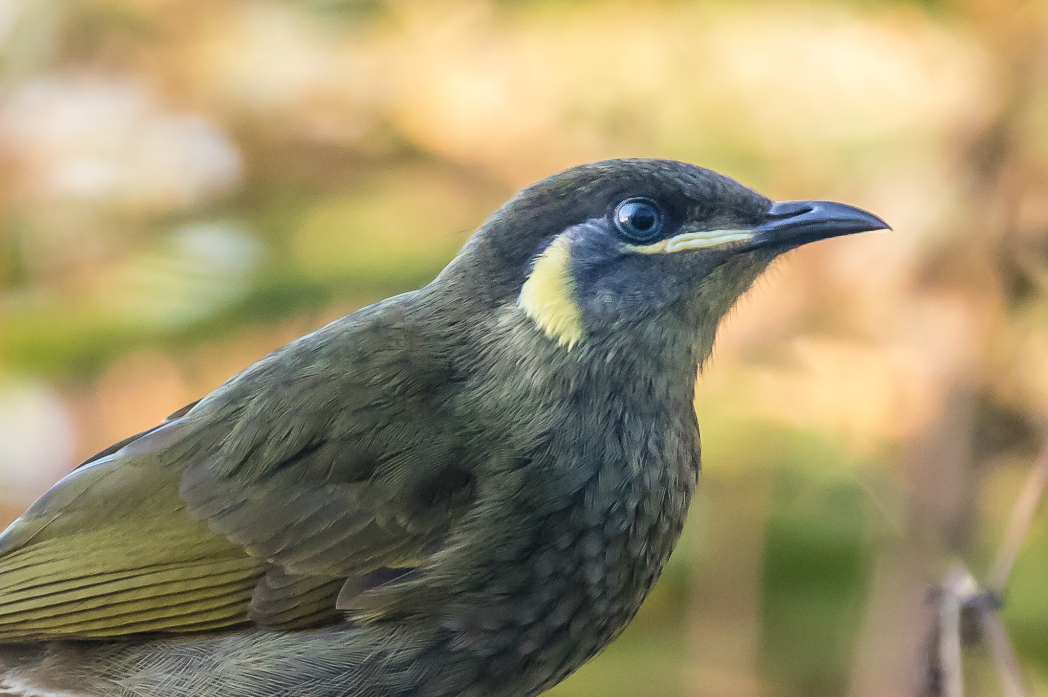 Lewin's Honeyeater (22 cm) frequents the wetter forests of Australia's eastern coast. They forage for insects in tree bark as well as nectar and fruits.