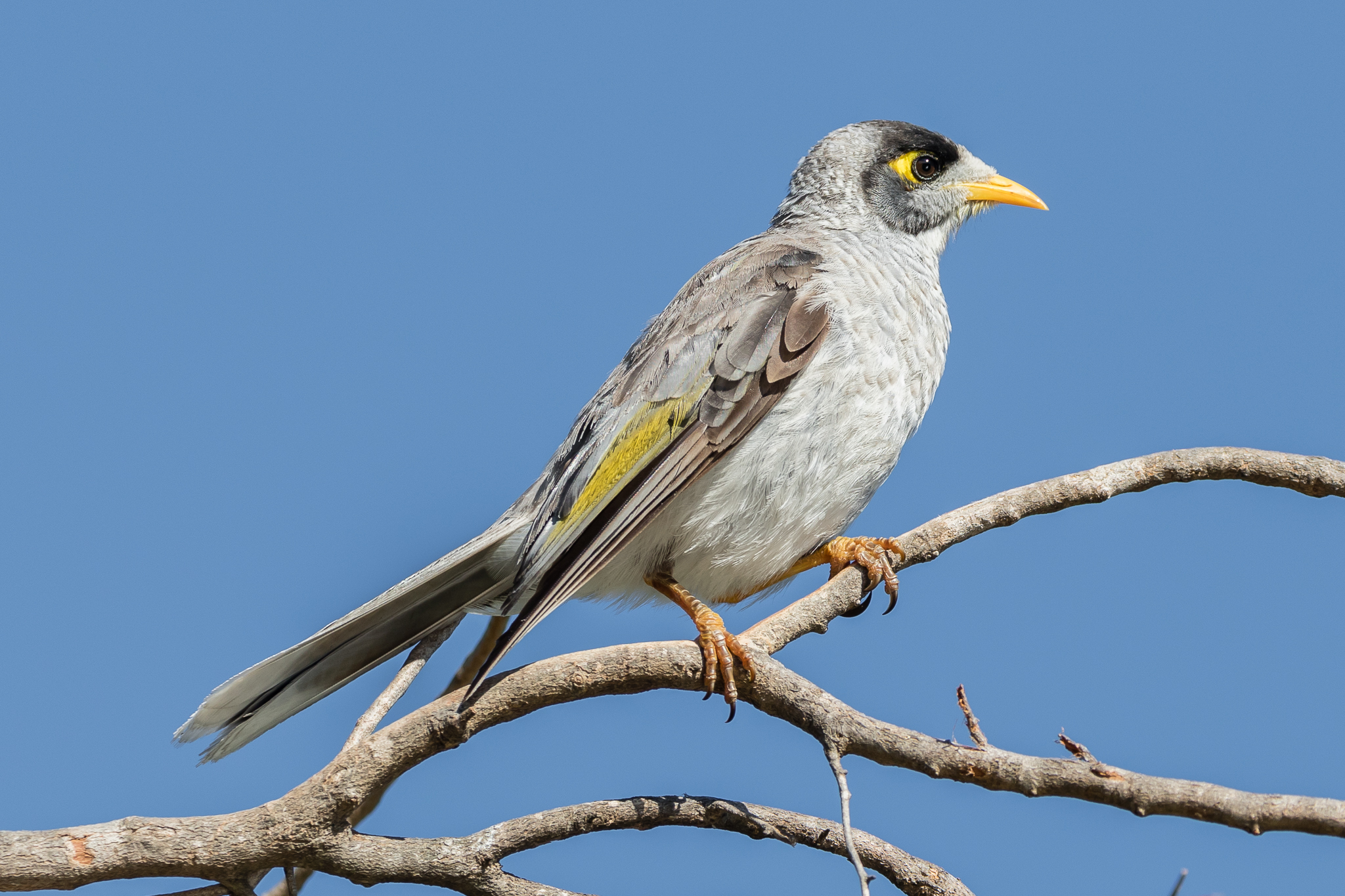 Second most common bird was the Noisy Miner, the most aggressive of the Honeyeater family; known for chasing other birds and taking prime nesting sites.