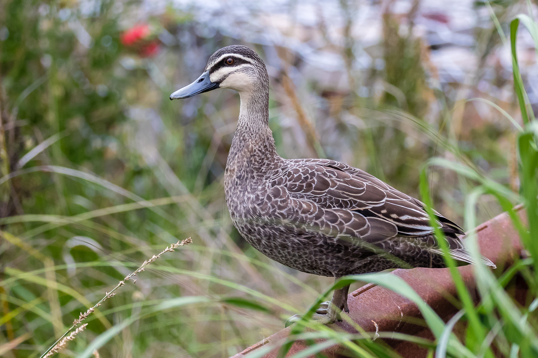 Pacific Black Ducks have adapted well to city life making the most of parks, ponds and picnic left overs.