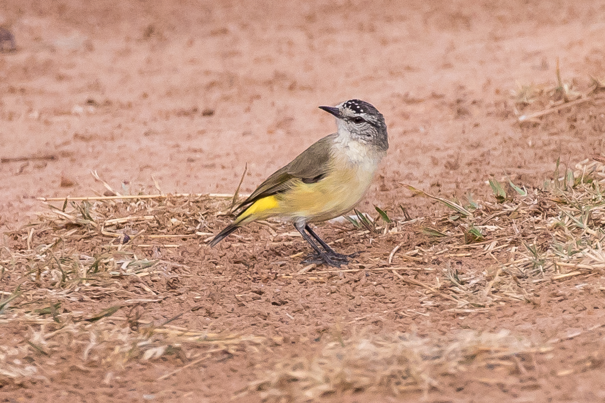 Yellow-rumped Thornbills are ground feeders and prefer open habitats as long as there are low branches or a fence nearby to provide a safe perch. They feed on insects and sometimes seeds.Common in the farmlands around Grenfell.