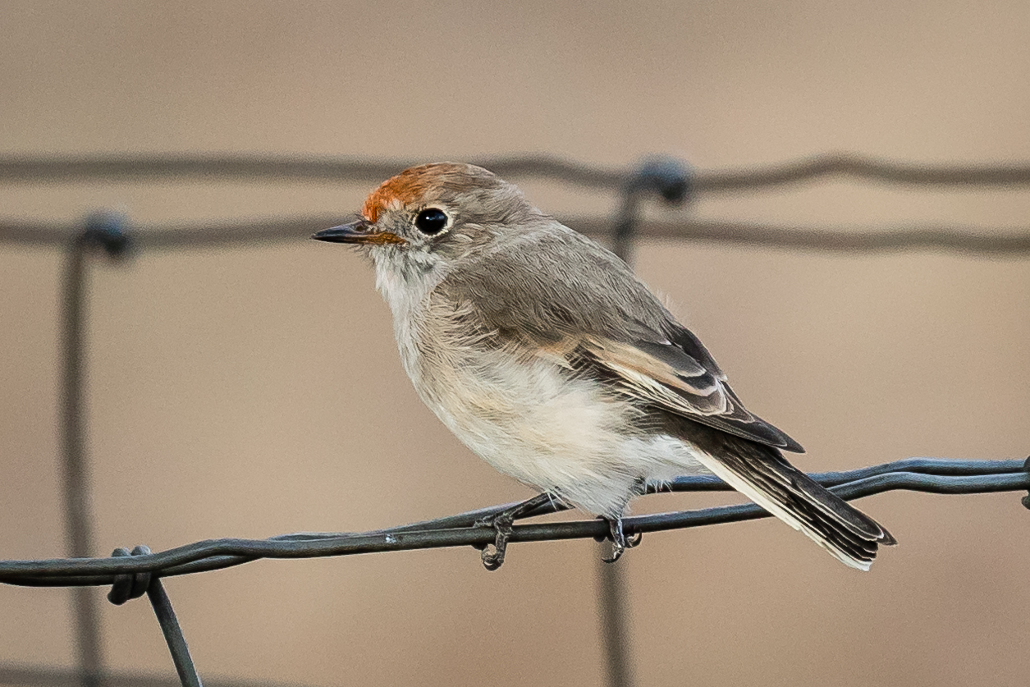 The female Red-capped Robin has the red cap but not the bright red breast of the male. Perched on a fence, it is watching for insects on the ground to swoop down on. Often seen in open woodlands close to open farmland.