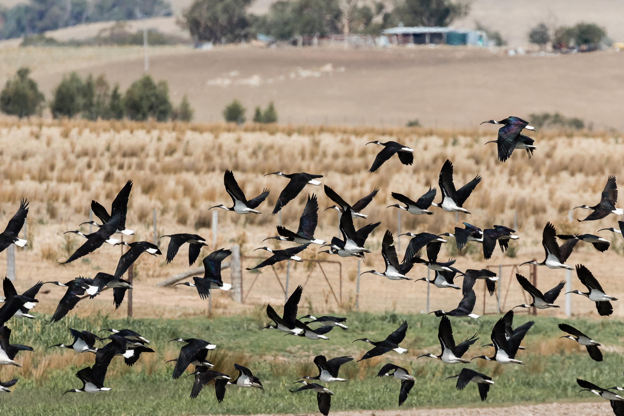 Straw-necked Ibis are grassland birds, feeding in large flocks on insects such as grasshoppers. They are seen across most Australian farming regions and fly long distances in response to seasonal conditions. Unlike their city cousin the Australian White Ibis they rarely scavenge for food.
