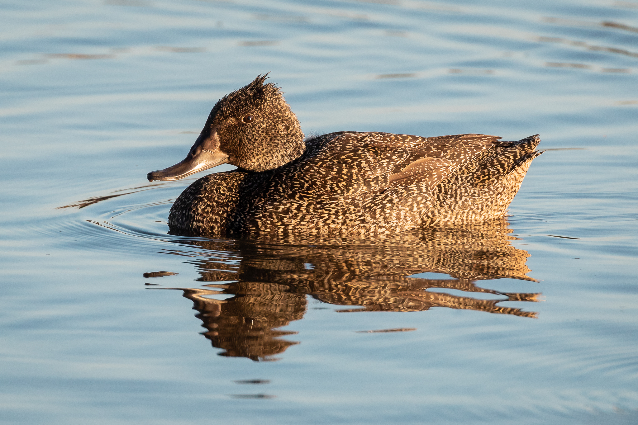 The Freckled-Duck (59 cm) is seen in the swamps and creeks of mid-Victoria and NSW, feeding on vegetation, algae and seeds. A rare and endangered species.