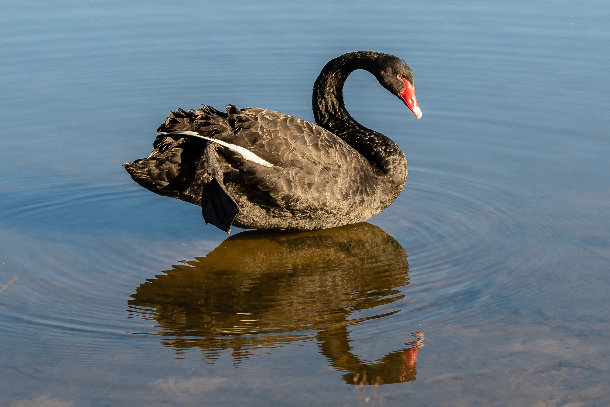 Black Swans (1.4 m) cover most of Australia, in most wetland types. They feed on aquatic vegetation in shallow water. They gained iconic status when early explorers discovered not all swans were white.