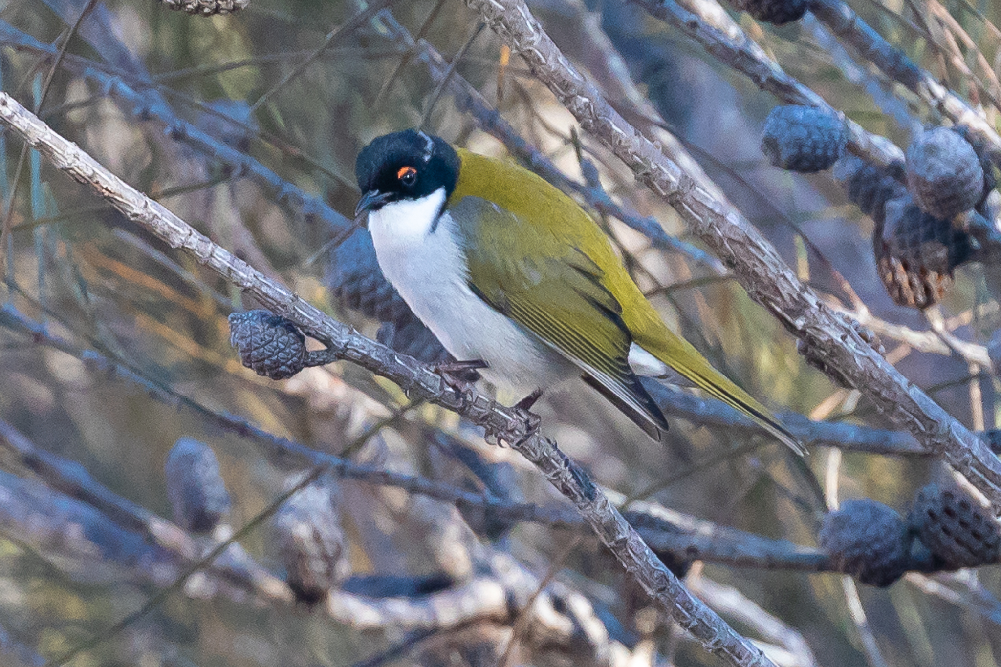 White-naped Honeyeaters (15 cm) live in the forests and woodlands of eastern and south-western Australia.They feed on nectar, insects, manna and honey-dew.