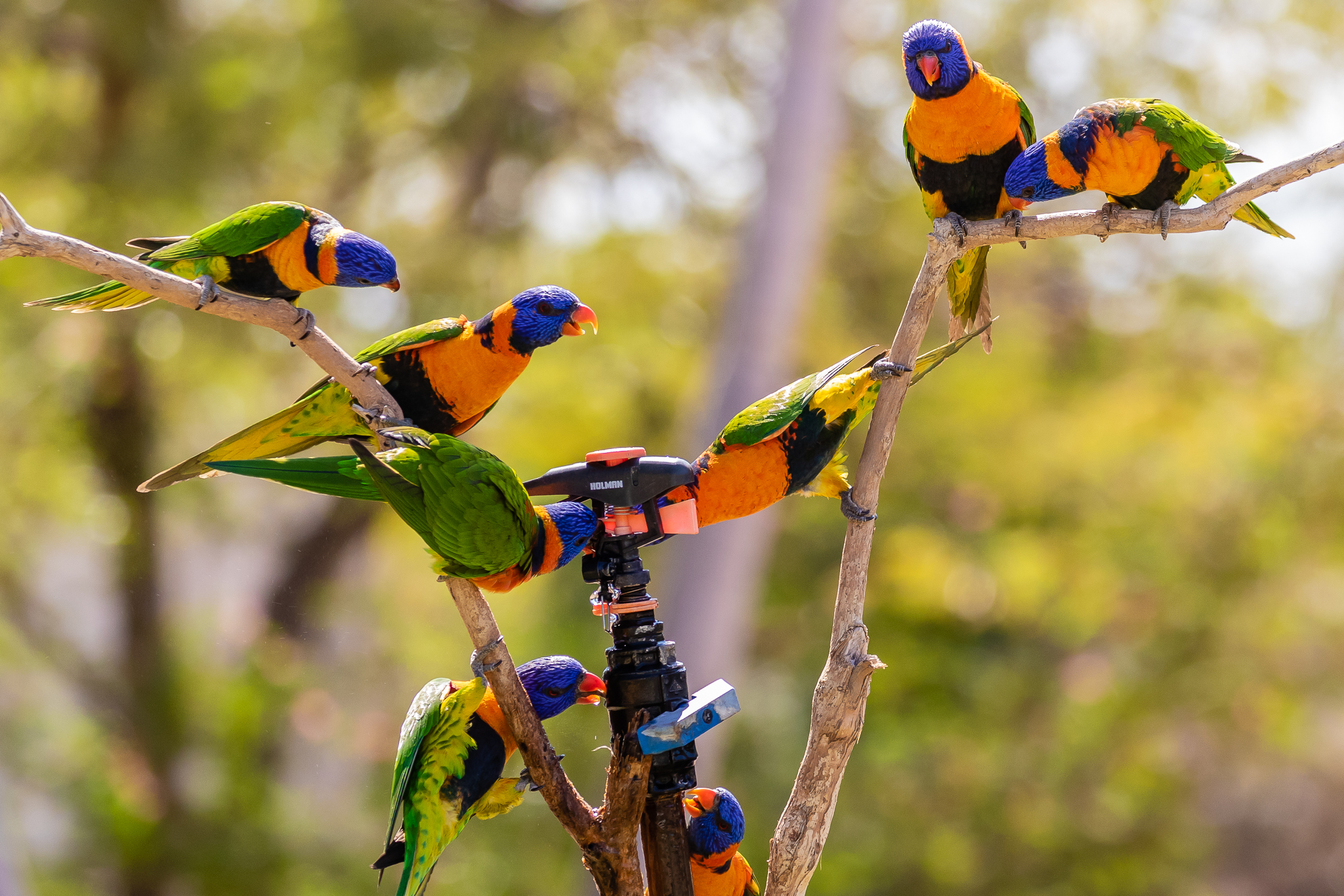 - City birds learn to live with people, making the most of our gardens, and our rubbish bins. These Red-collared Lorikeets drink from a sprinkler head in the Northern Territory town of Pine Creek.