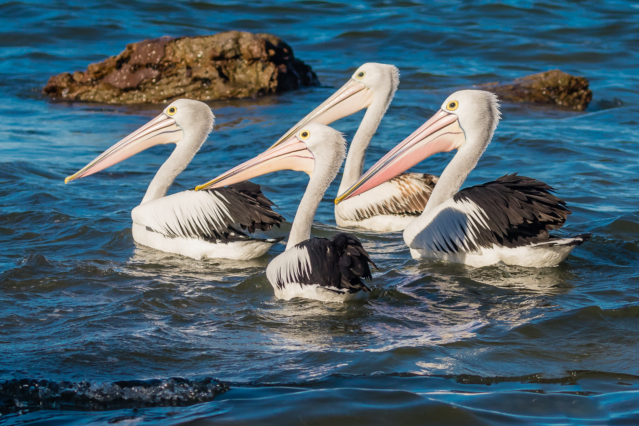 - At the beach birds compete with people, vehicles and development to feed, breed and rest. In the photo regal Australian Pelicans swim in formation, a common sight around the Australian coast.