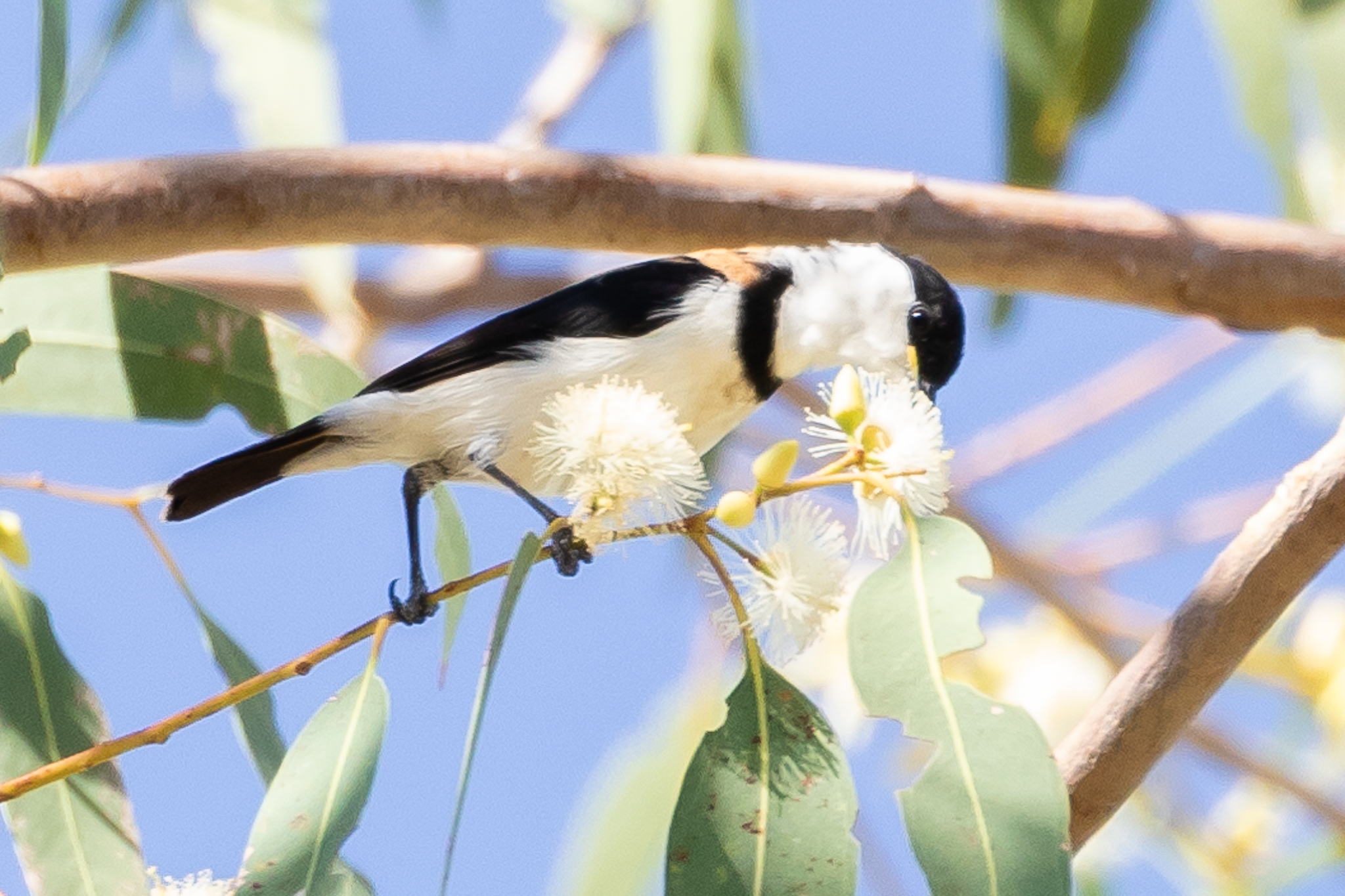 The Banded Honeyeater (14 cm) lives in forests and woodlands of far north Australia, feeding in Eucalypts and Paperbarks.