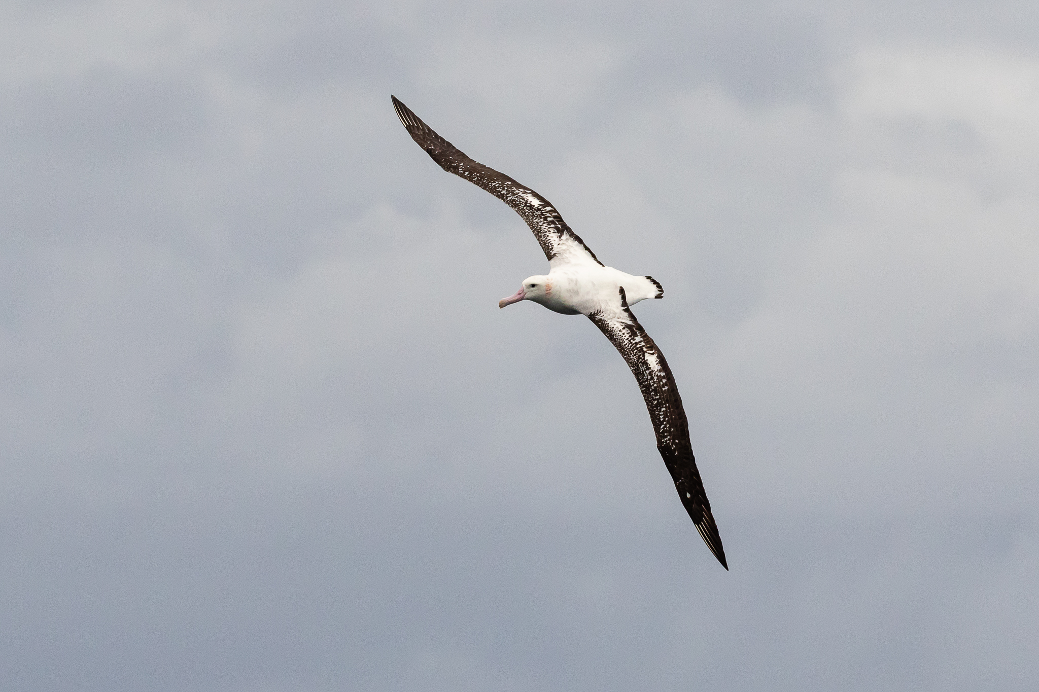 The Wandering Albatross is one of the world's largest birds with a wing-span that reaches 3.5 metres. Wandering Albatrosses may travel more than 100,000 km in one year, crossing the oceans many times over.