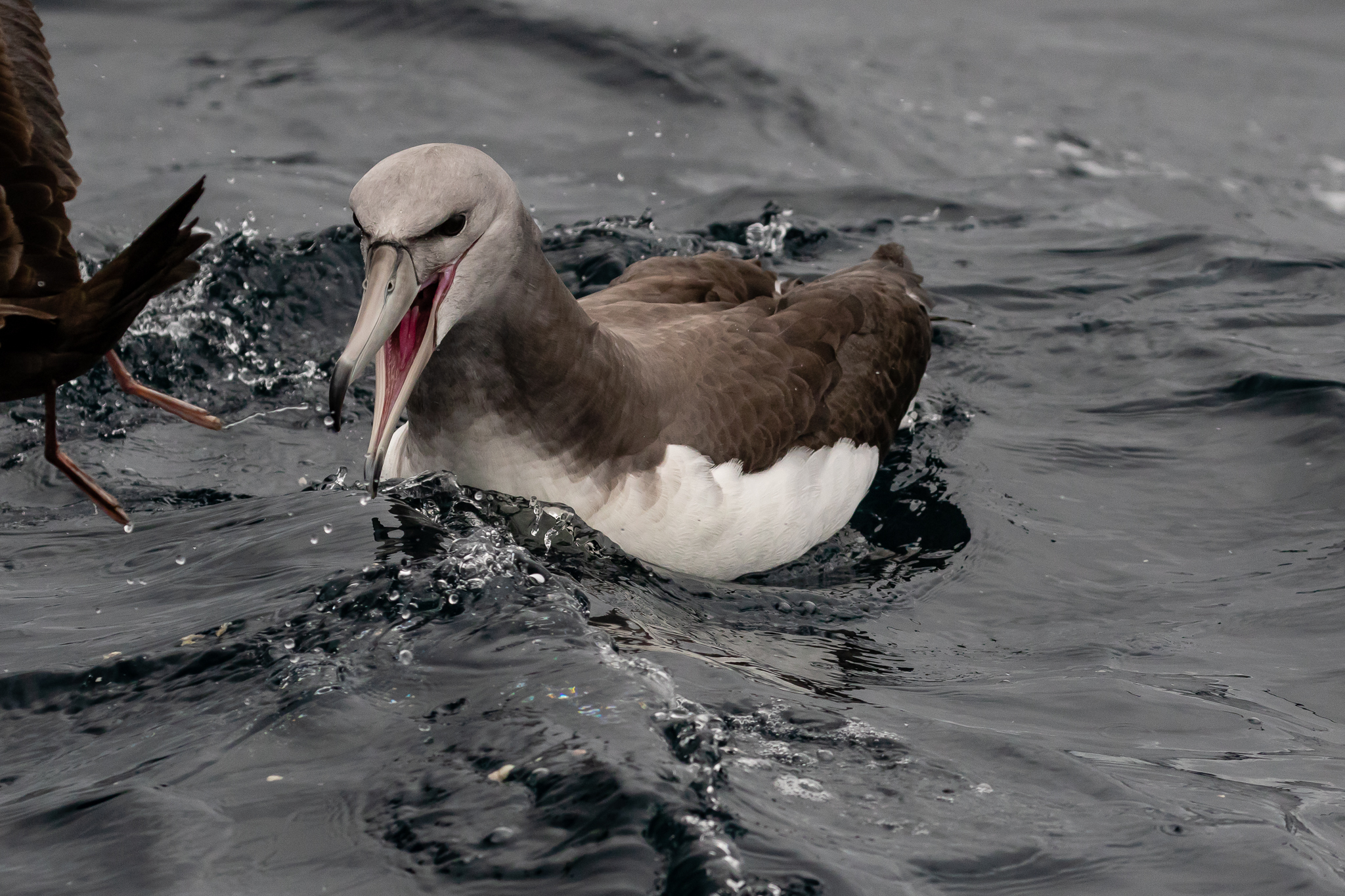"""The Shy Albatross only breeds in Australian waters.The largest colony of 7000 breeding pairs is on Mewstone Island, a 13 hectare """"rock"""" off the south coast of Tasmania."""