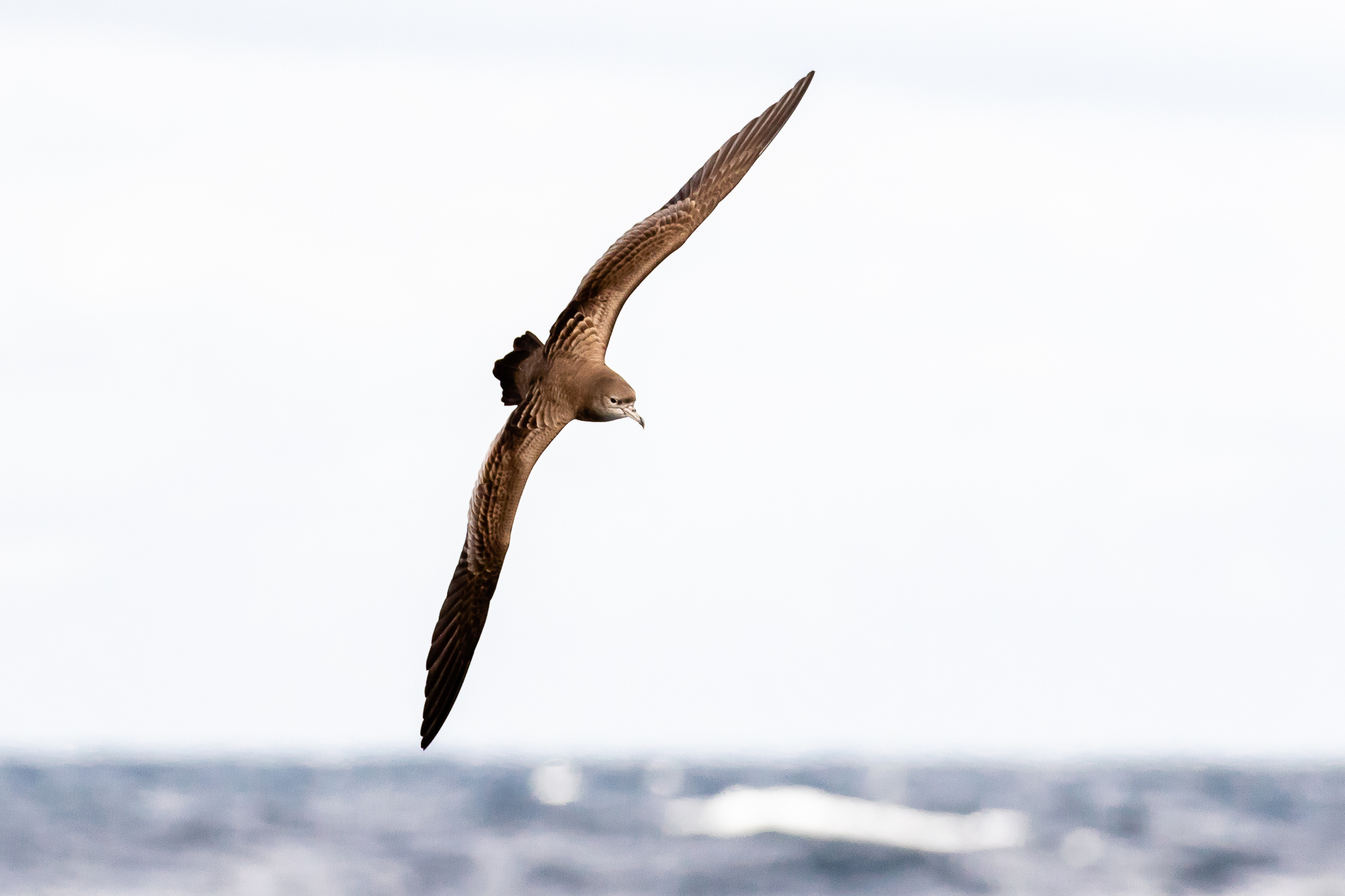 The Wedge-tailed Shearwater (45 cm long) breeds on Australian islands including Heron Island and Lord Howe Island. It feeds on fish, squid and crustaceans.