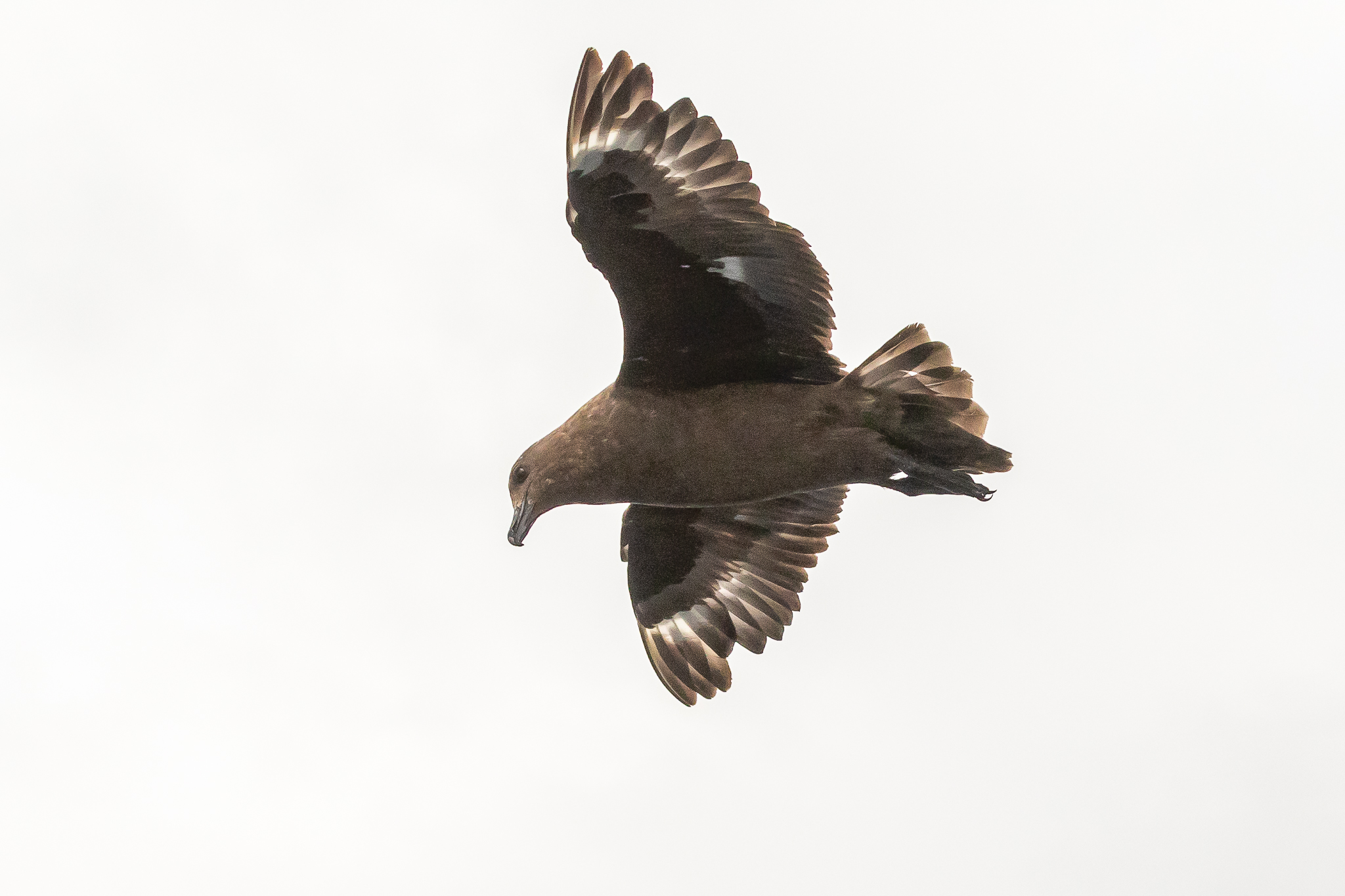 The Great Skua obtain fish by robbing other gulls and terns. They also feed on smaller seabirds, attacking them on the wing, using brute strength to pull them into the water.