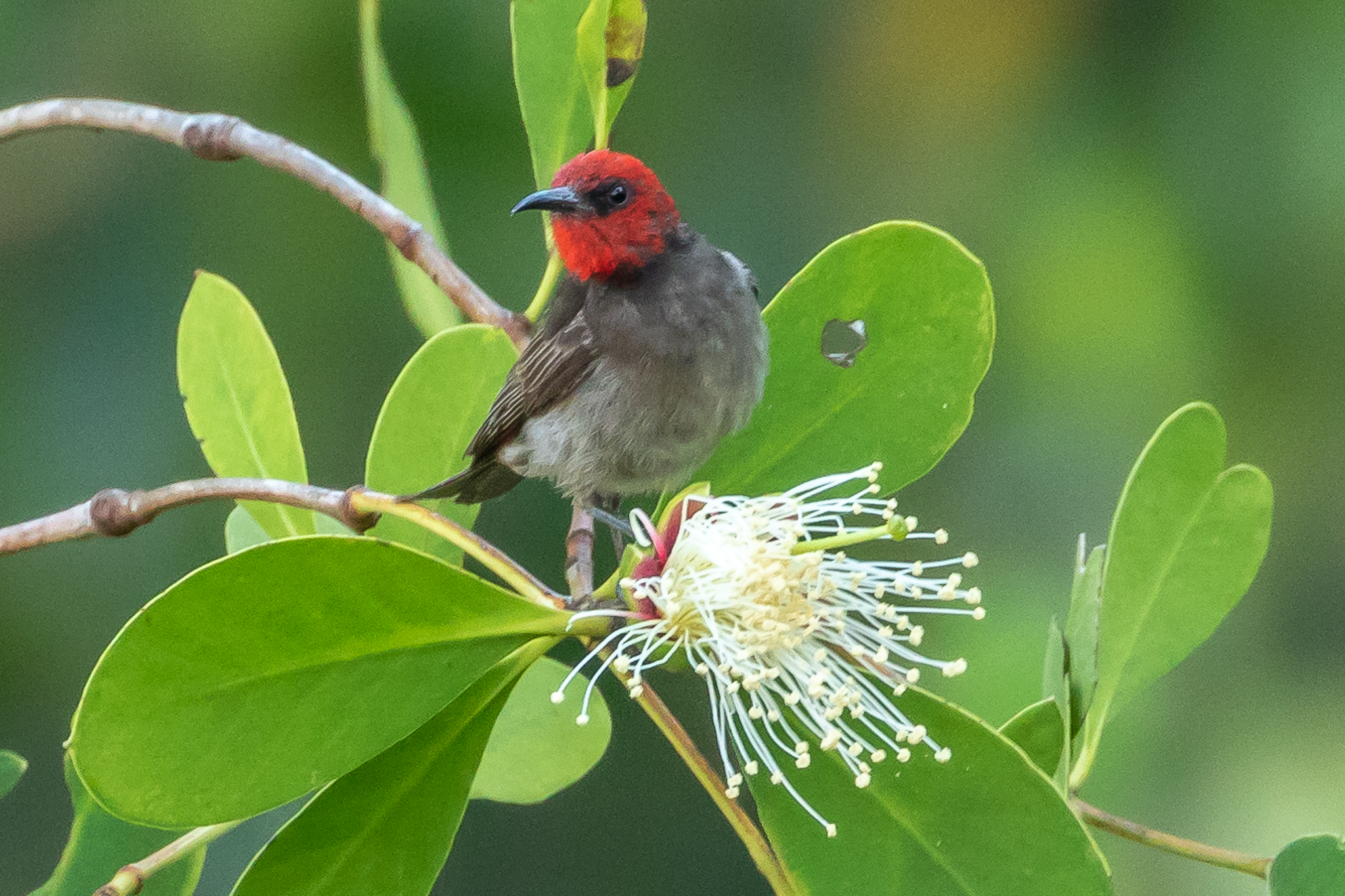 The Red-headed Honeyeater is found in northern Australia, Indonesia and Papua-New Guinea. It feeds on nectar and insects.