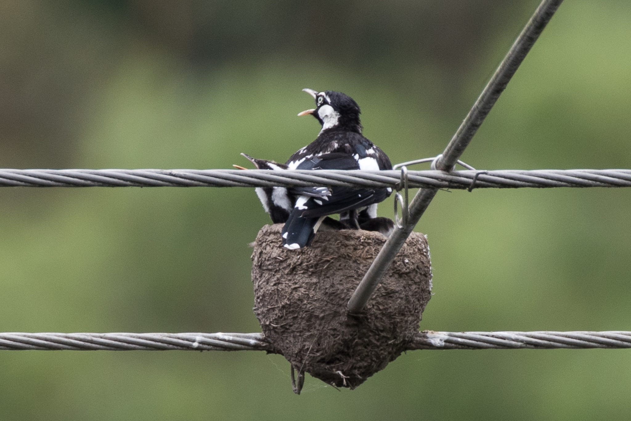 Another common bird in city and bush, these Magpie-larks successfully raise a family in this unusual nesting spot!