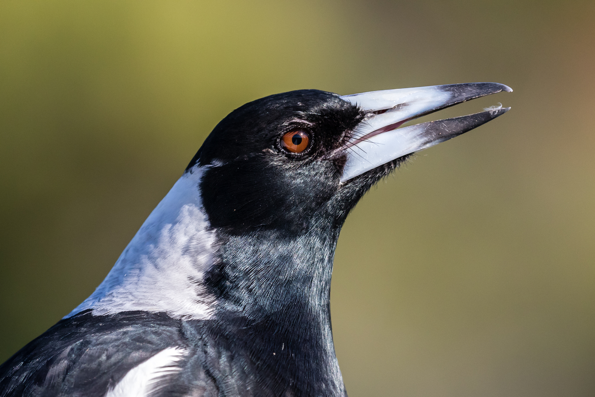 In third place was the Australian Magpie, common in cities and the bush. Magpies prefer open spaces with large trees (city parks) feeding mainly on grubs and insects.