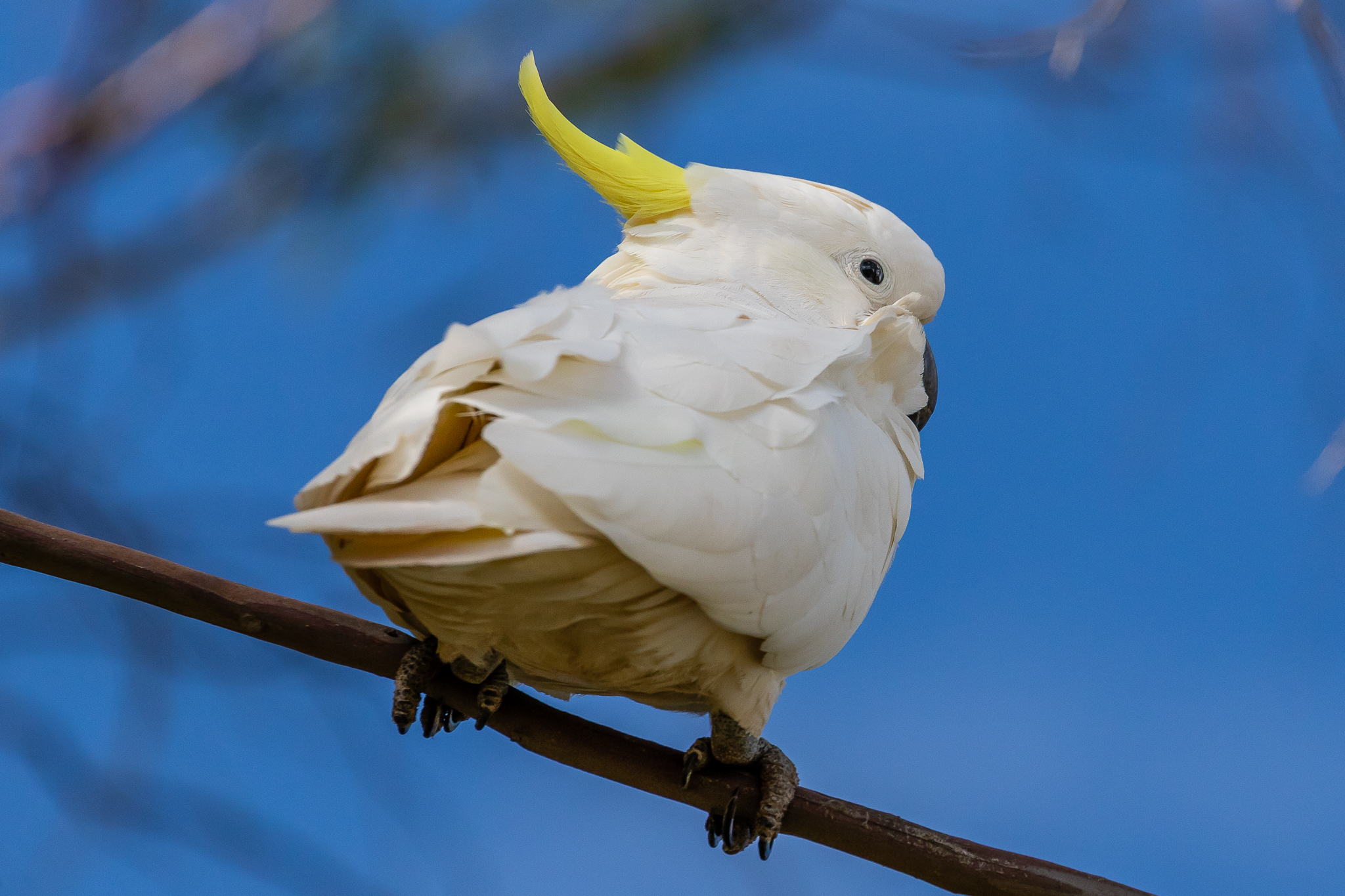 At number four the Sulphur-crested Cockatoo is a large noisy parrot with a strong beak suitable for its diet of berries, seeds, nuts and roots.