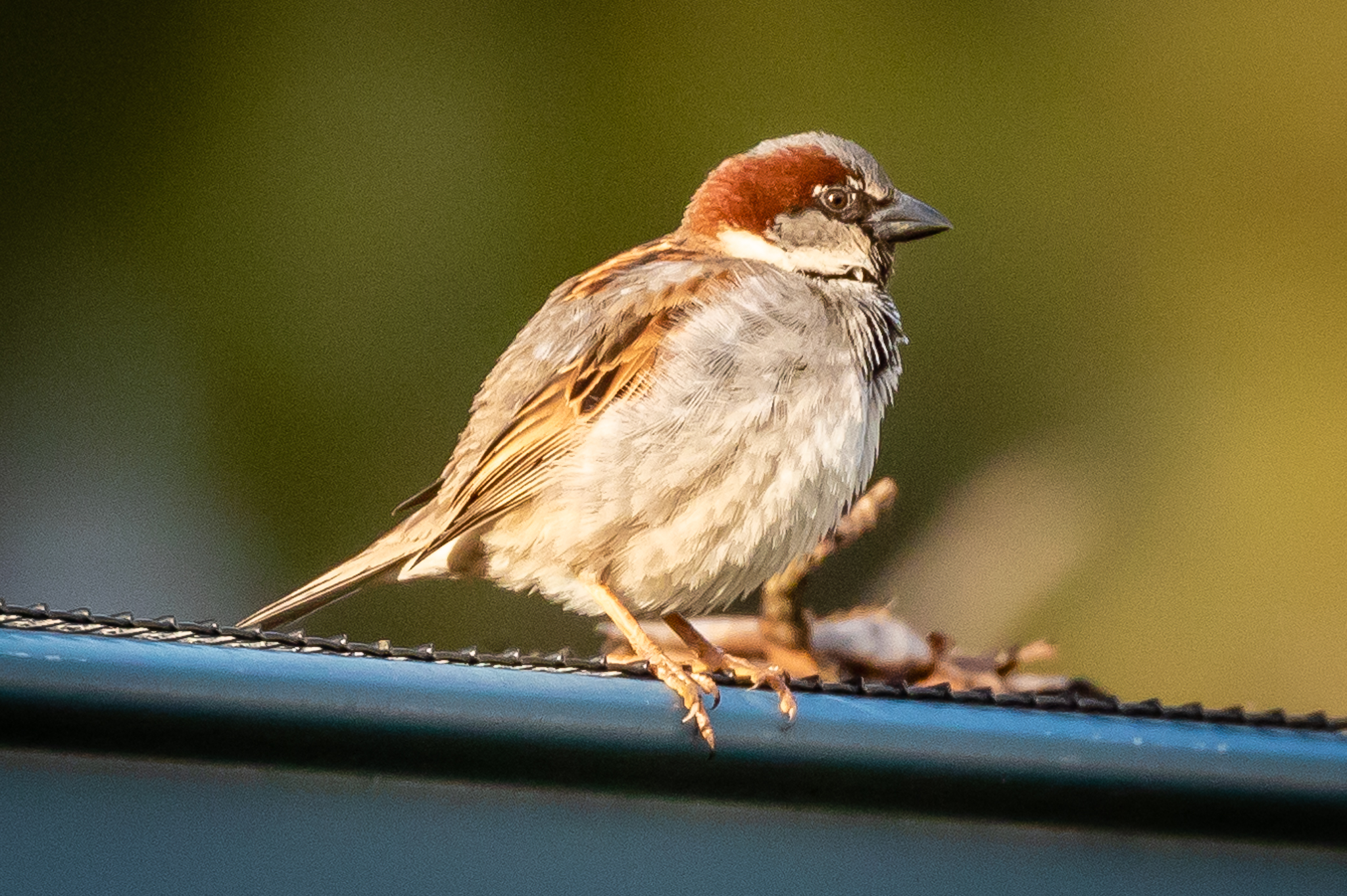Fifth place the introduced House Sparrow numbers are decreasing in many cities but are still common in Tasmania, along with Blackbirds and Starlings.