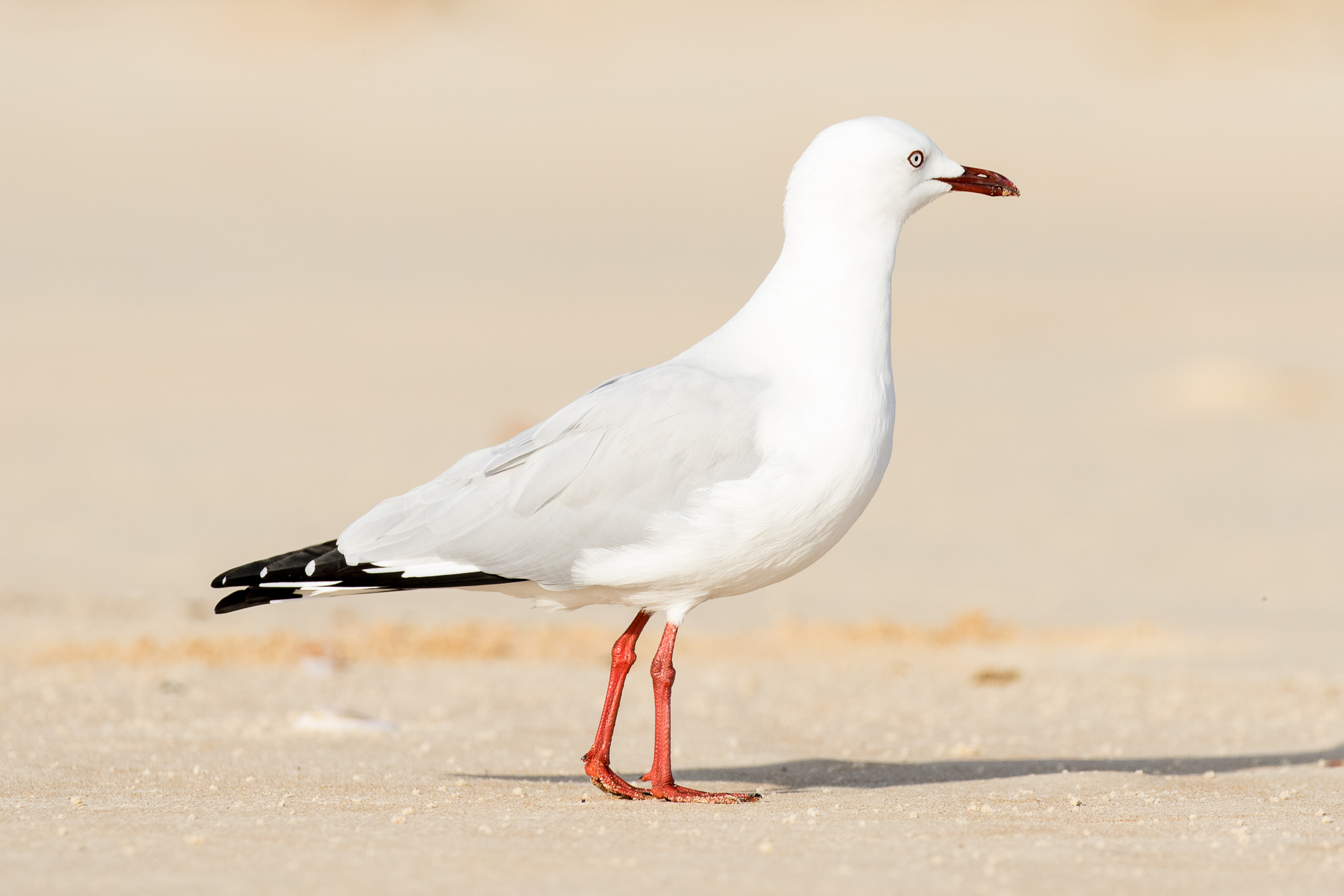At seven, the Silver Gull, a scavenger from the beach, finds that city streets and parks are plentiful sources of food.