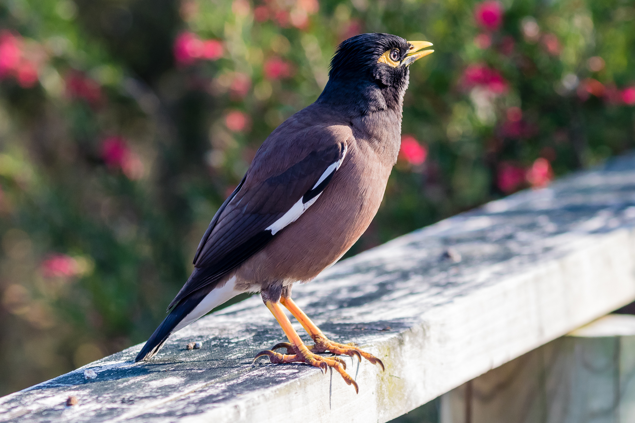 The Common Myna takes eighth place. Often regarded as a pest, the Common Myna is losing out to its Australian cousin, the Noisy Miner.