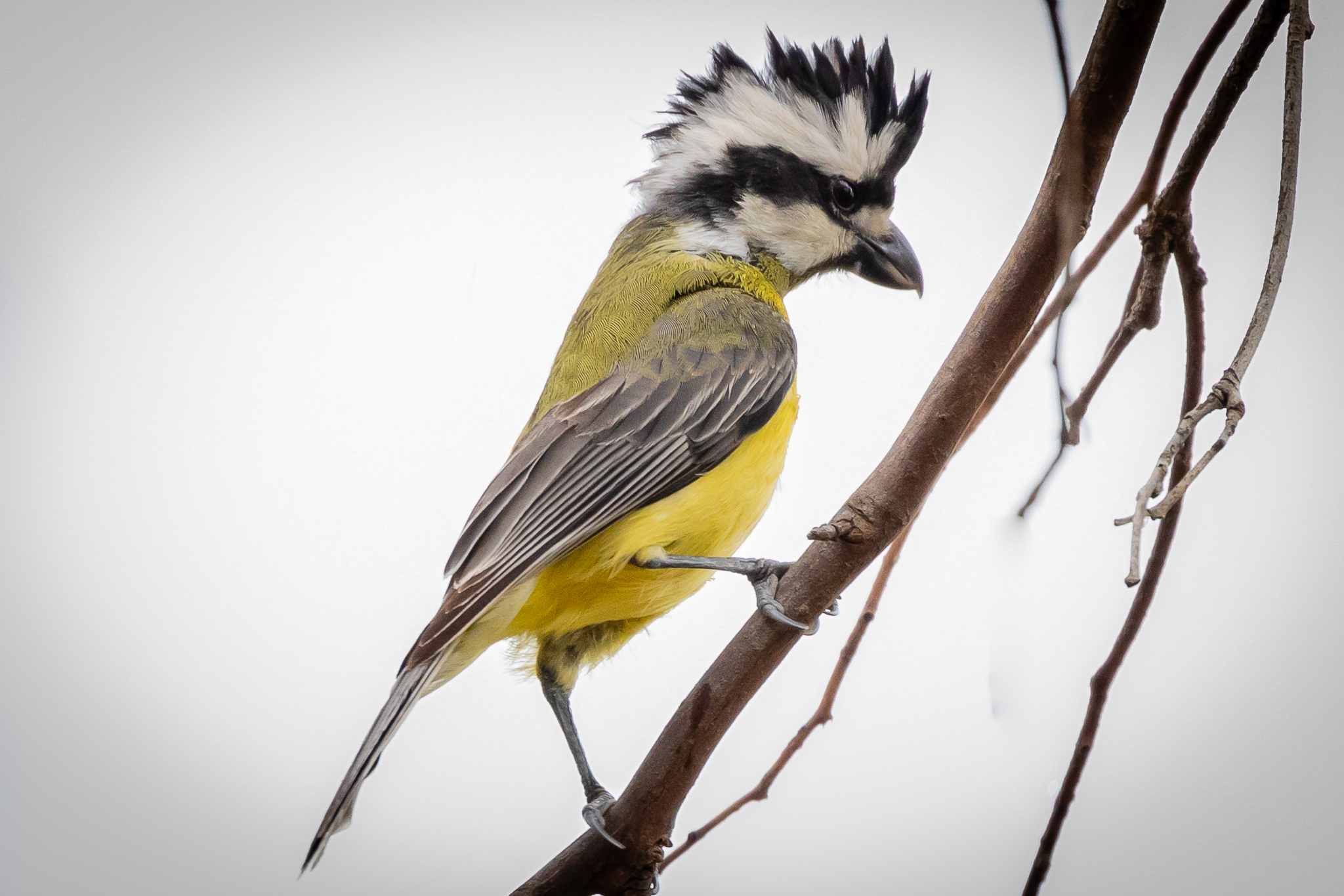 The Crested Shrike-tit is an insect eating bird but occasionally eats seeds and fruit. It uses its strong short bill to tear bark from trees and find insects. This bird was on a bush regeneration site planted by participants in the Cowra Woodland Birds Program.