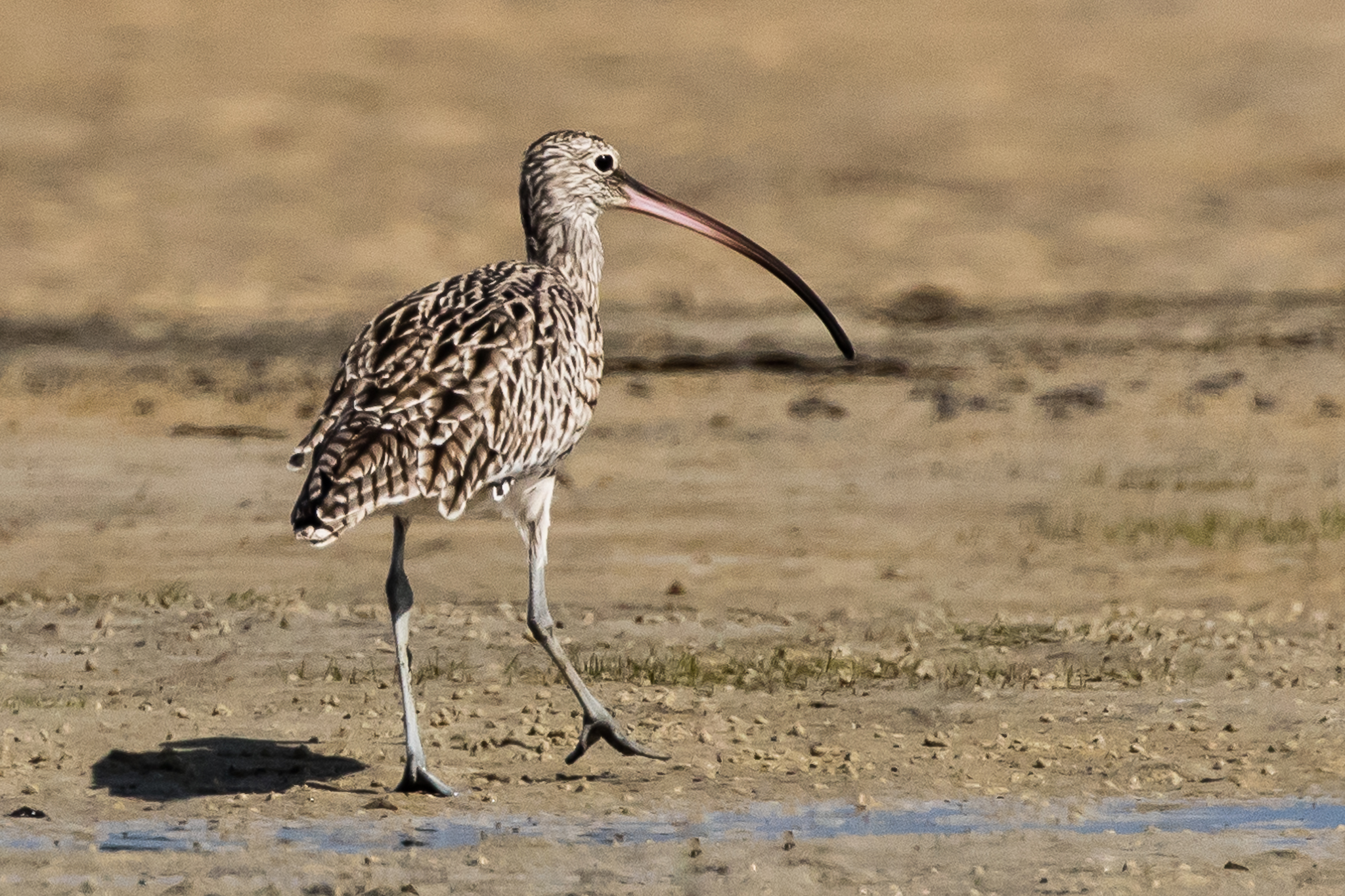 The critically endangered Eastern Curlew migrates from Russia each summer. Numbers of these birds are decreasing rapidly as Asian stop-over and refuelling mudflats are reclaimed and developed.