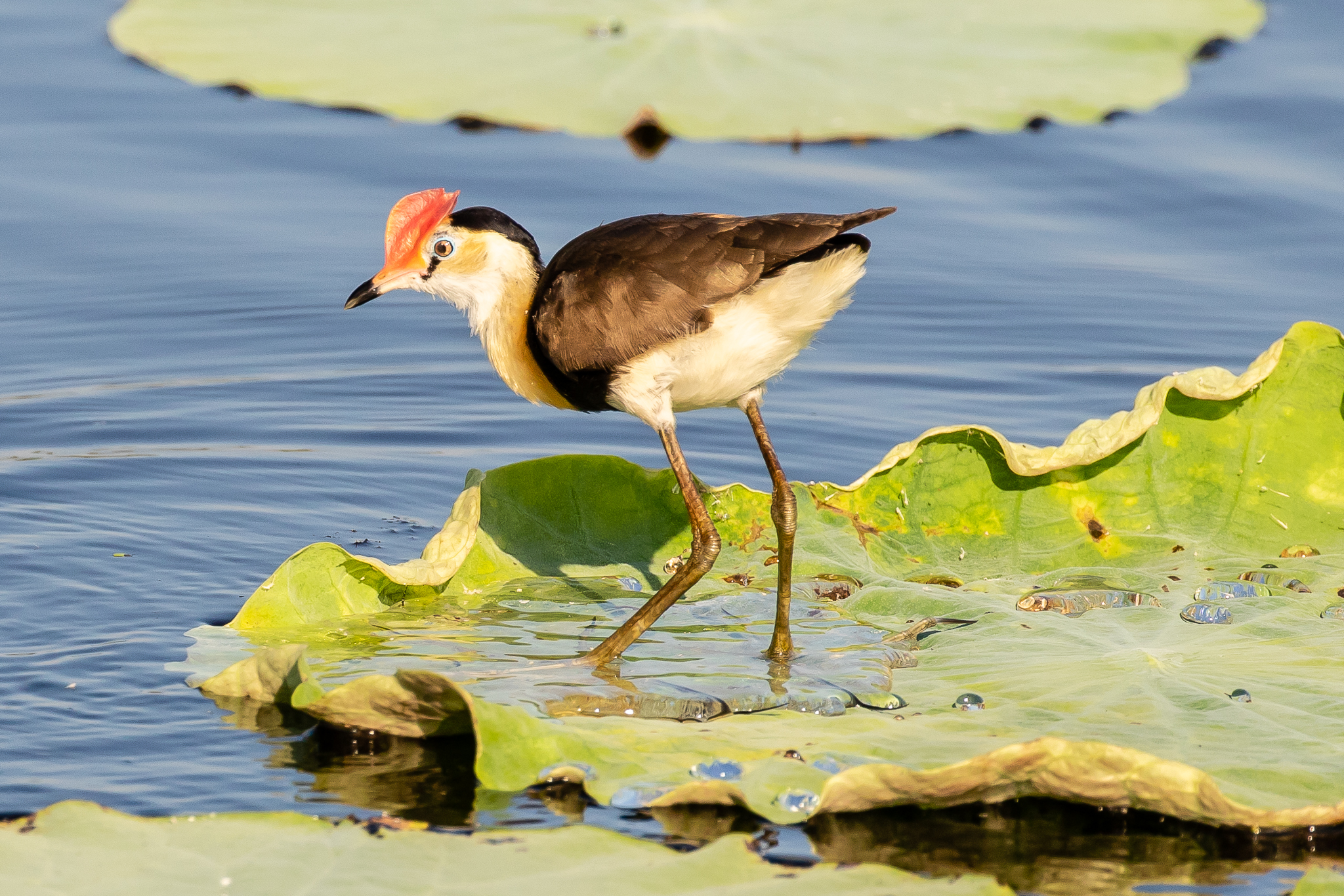 This Comb-crested Jacana trips lightly across lily-pads. They inhabit tropical swamps in northern coastal Australia and can be seen in northern NSW.