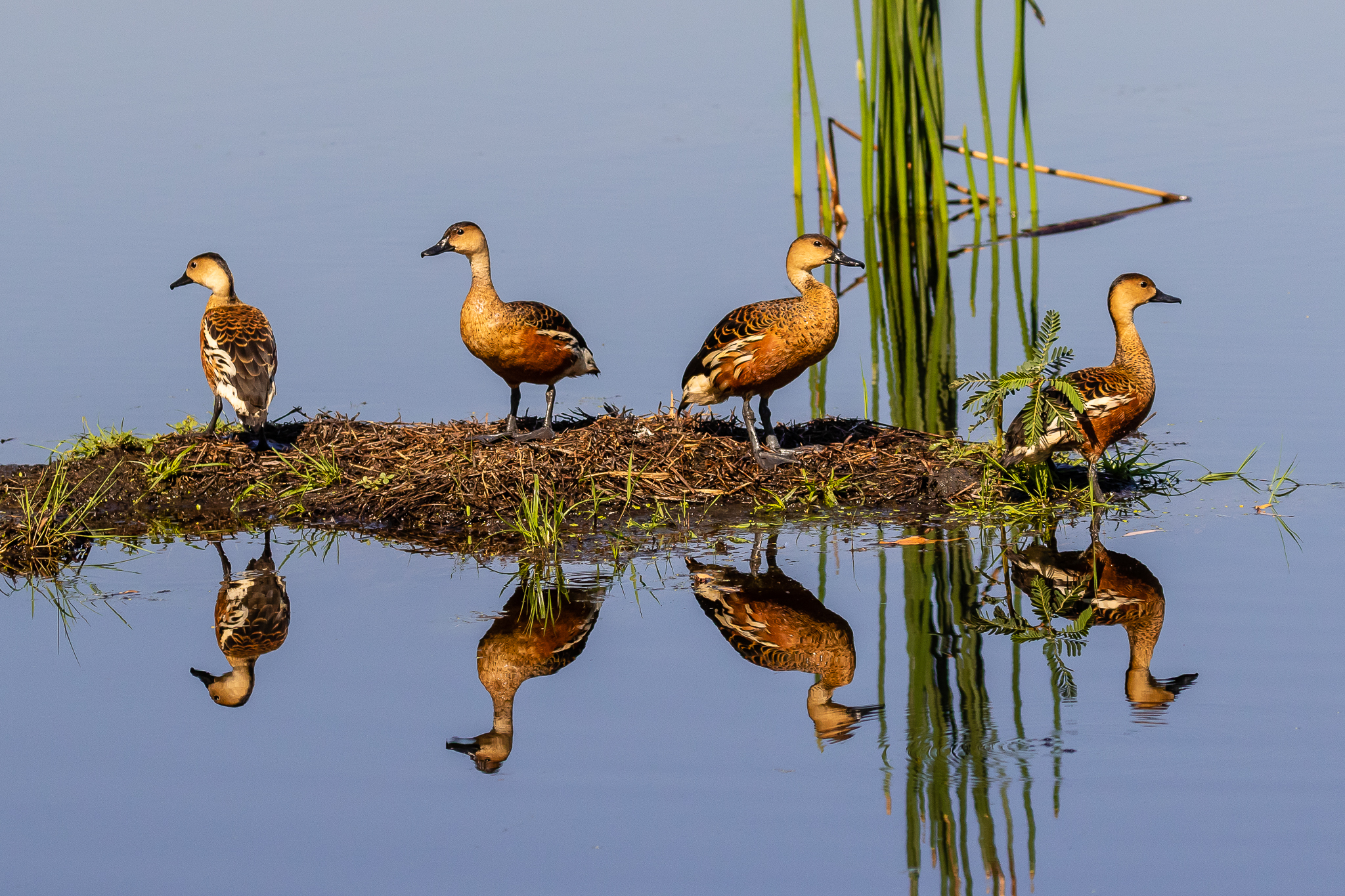 The Wandering Whistling-Duck (61 cm) is usually seen in the north, swimming and diving for aquatic plants in tropical wetlands. They have a similar whistling call to the Plumed Whistling-Duck.