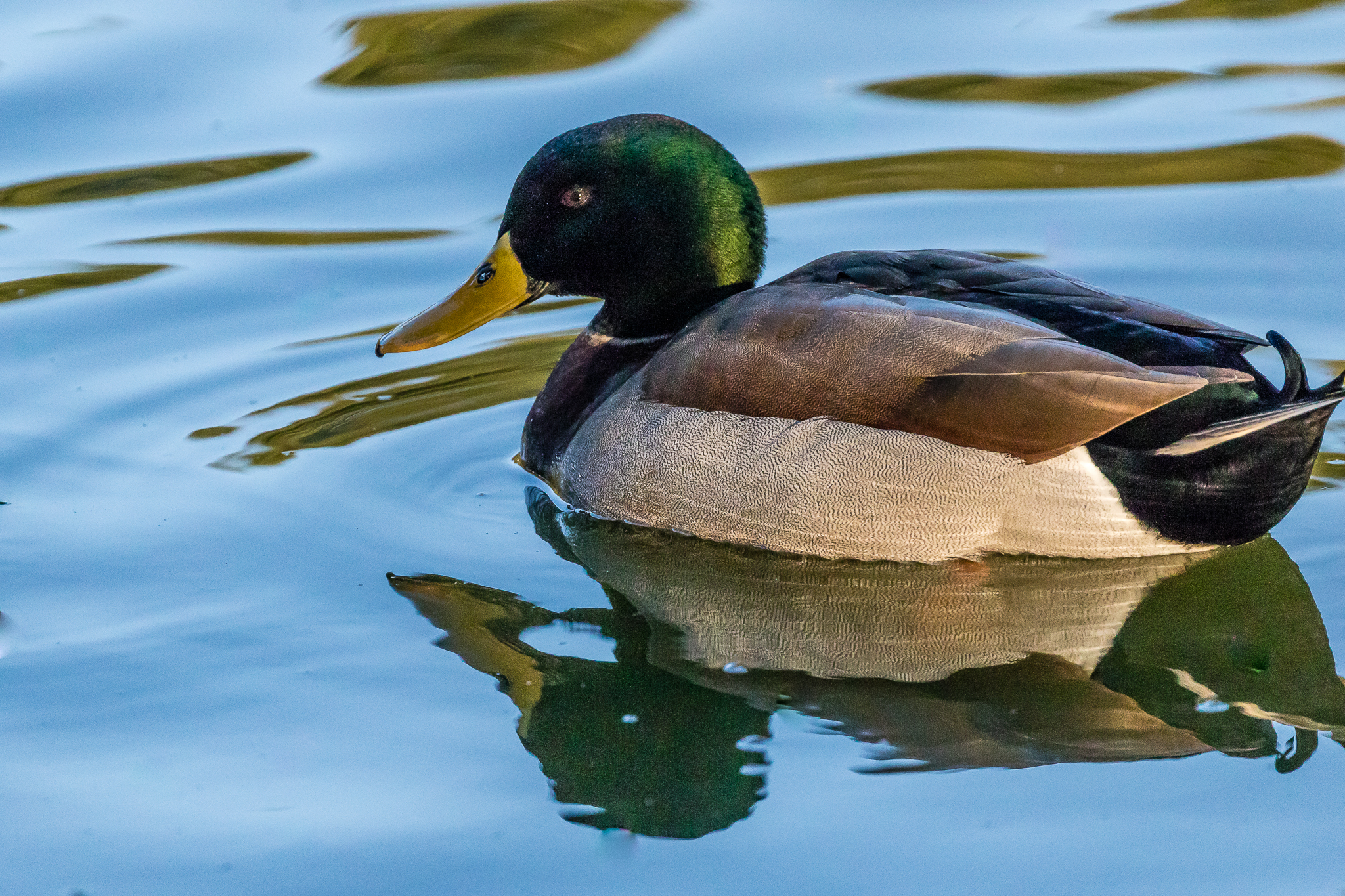 The Mallard (70 cm) is an introduced duck that has inhabited the south-east corner of Australia. Mainly vegetarian diet.