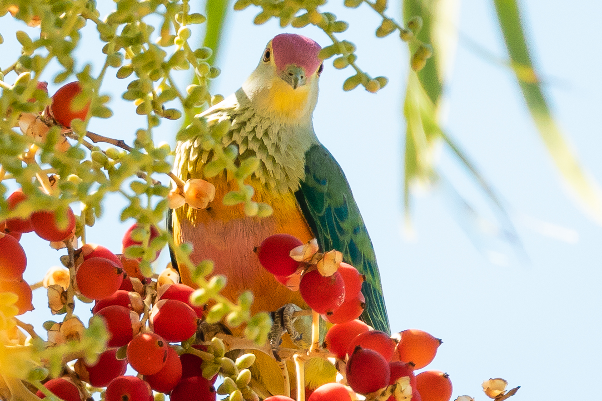 Rose-crowned Fruit-Doves inhabit the north and east of Australia, in coastal tropical and sub-tropical forest. They feed on ripe fruit, figs and Camphor Laurel.